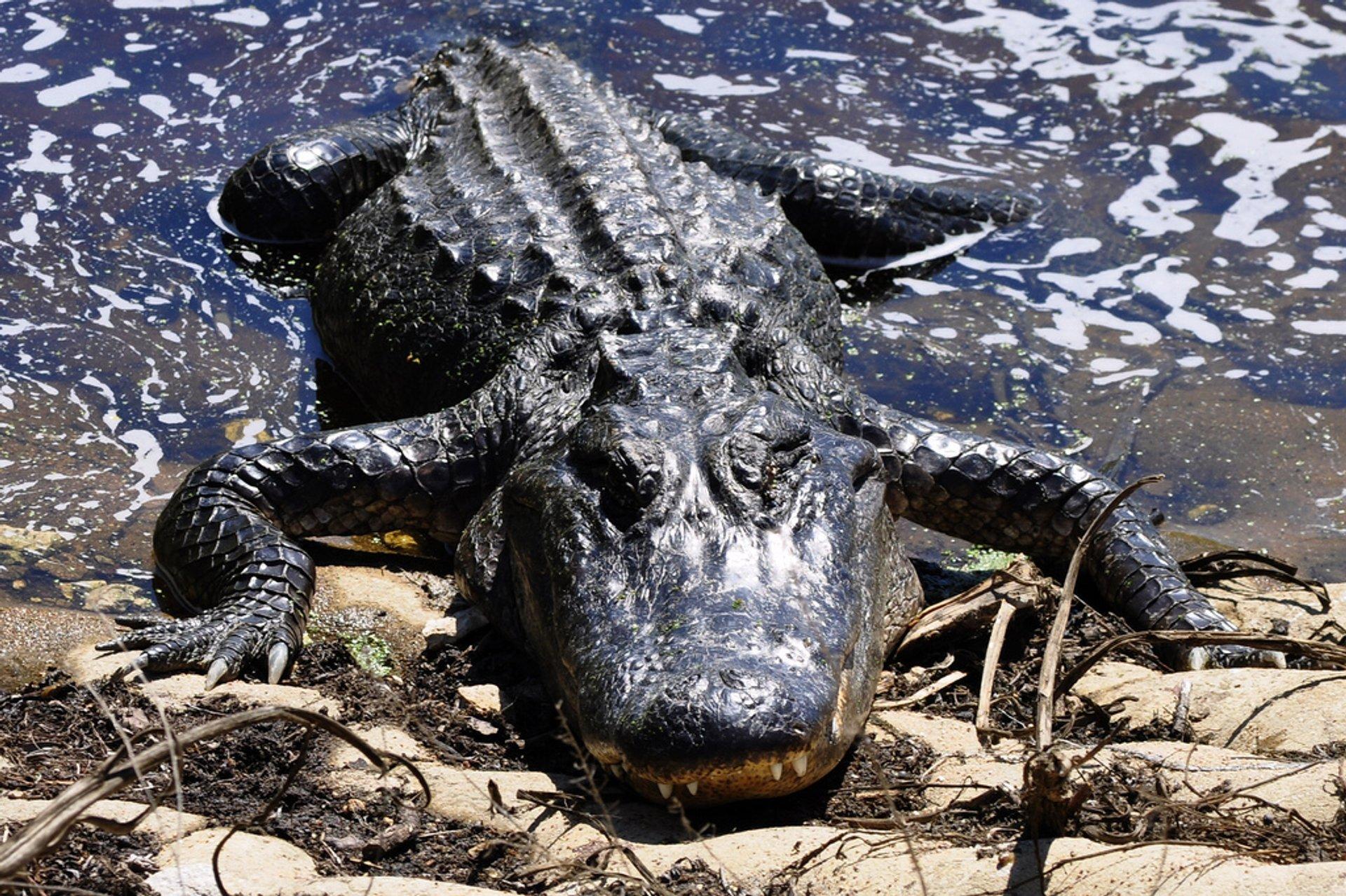 Alligator at Brazos Bend State Park 2019