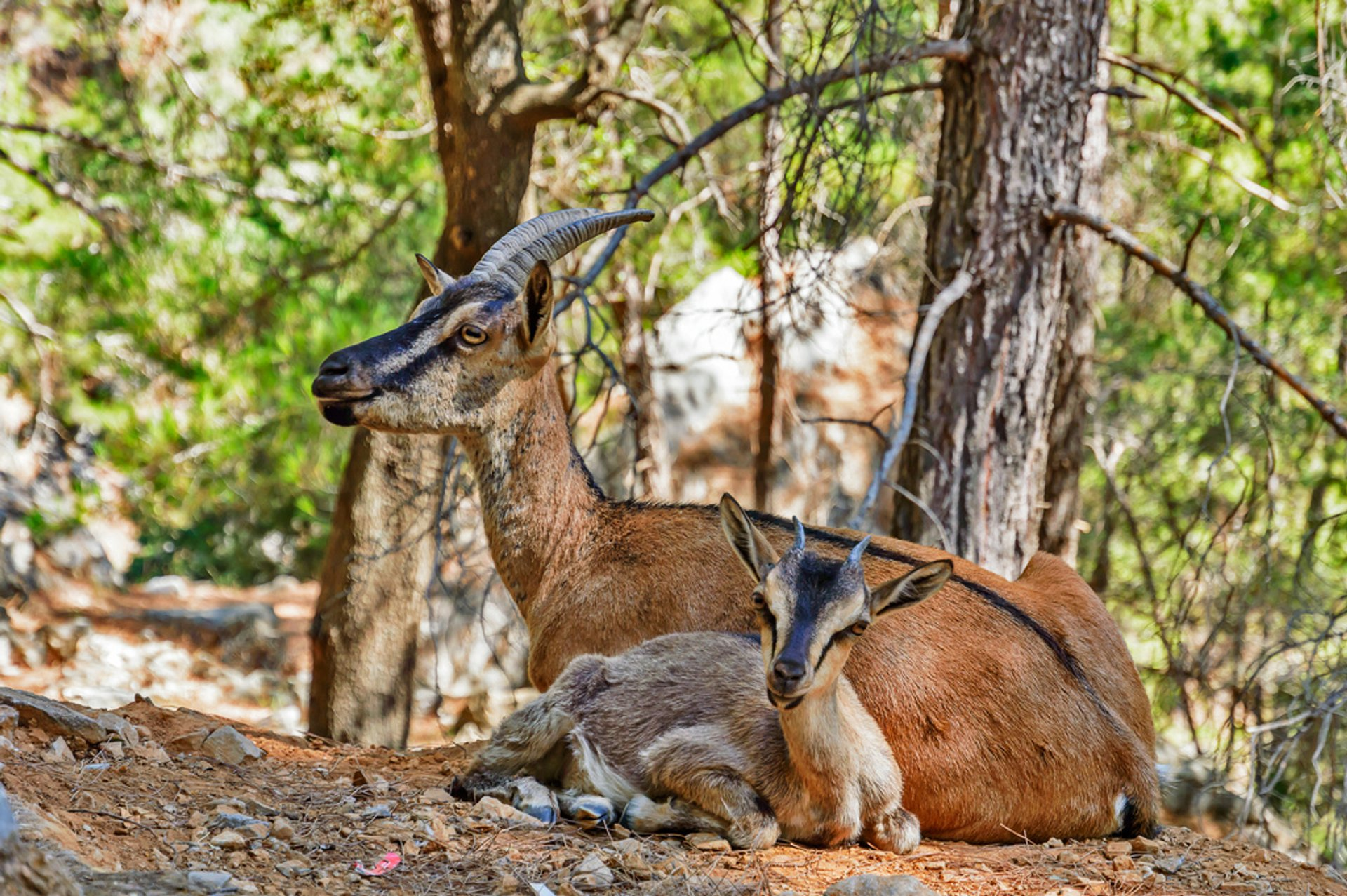 Kri-Kri wild goats
