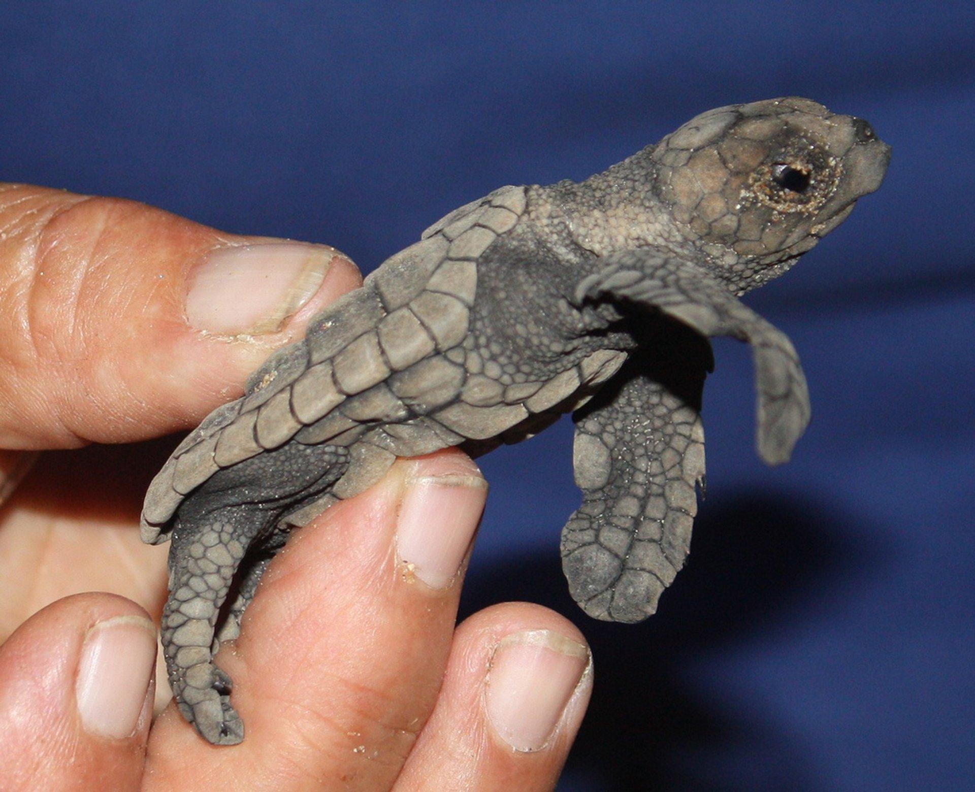 Hatching Turtles in Great Barrier Reef - Best Season 2019