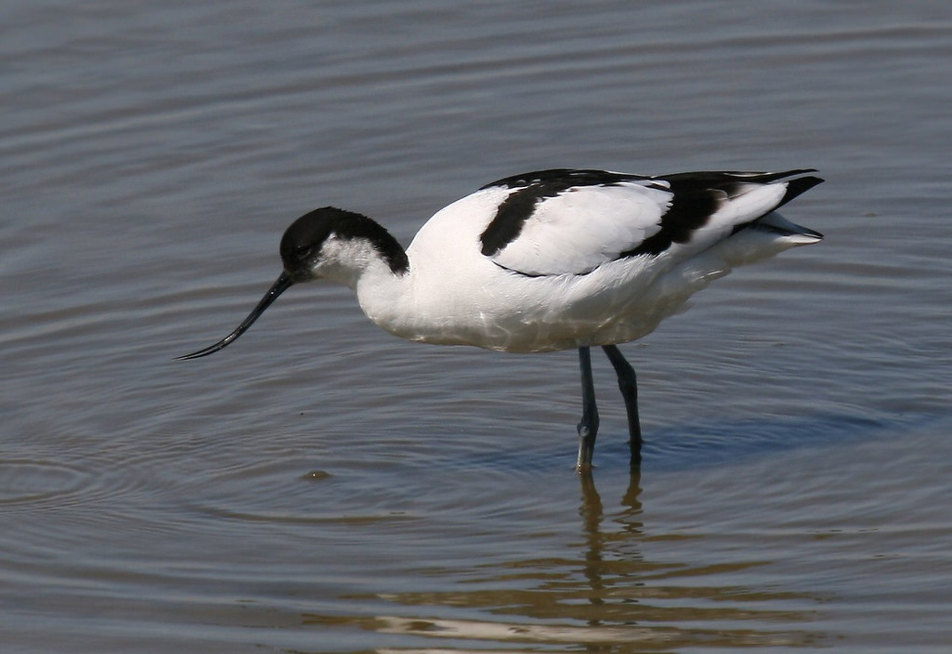 Avocet (Recurvirostra avosetta), photographed from one of the hides at Minsmere RSPB reserve in Suffolk, England 2019