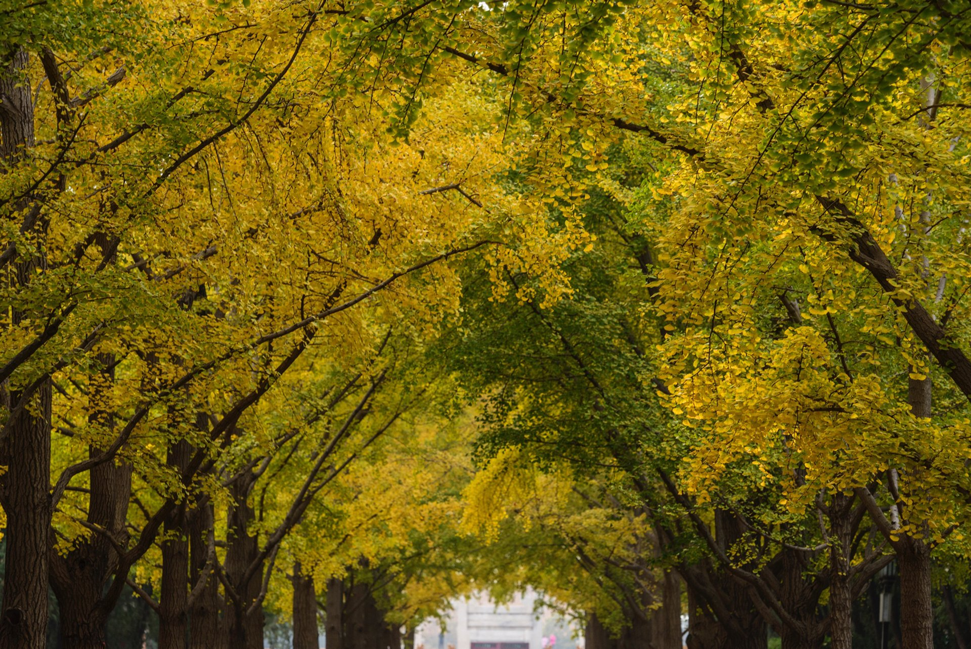 Ginkgo at Ditan Park on October 30 2019