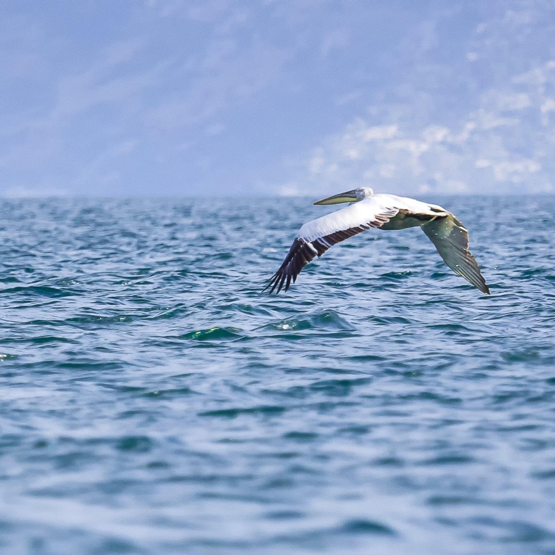 Dalmatian Pelican 2020