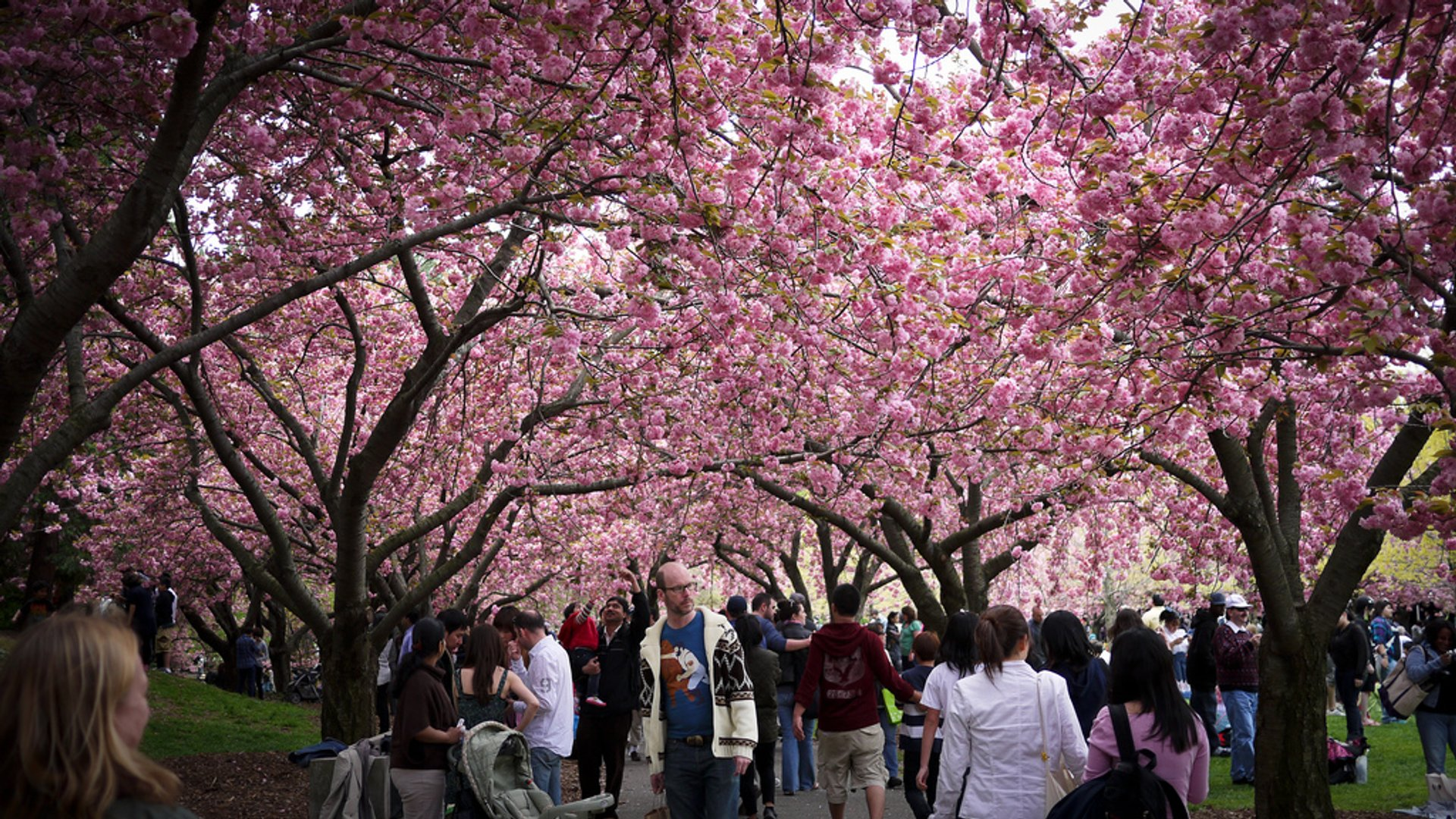 Sakura Matsuri: Cherry Blossom Festival in New York 2020 - Best Time