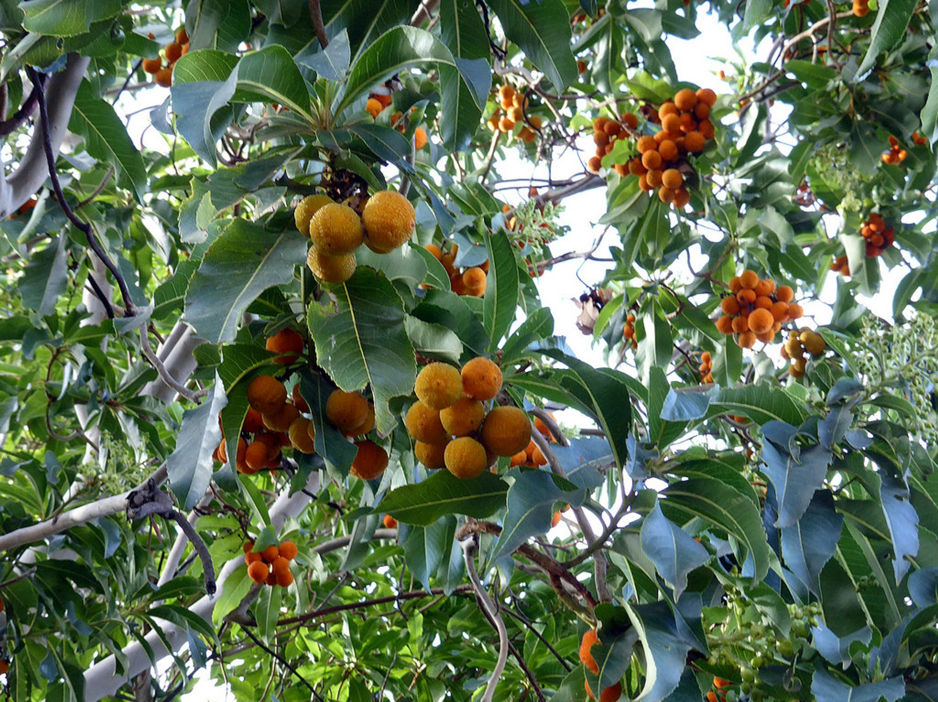 Orange Harvest in Canary Islands - Best Season 2019