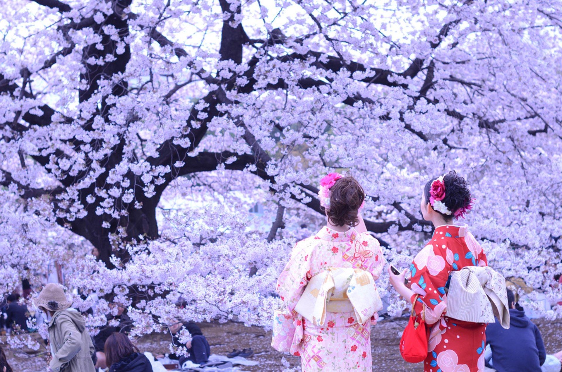 Hanami Season in Japan 2020 - Best Time
