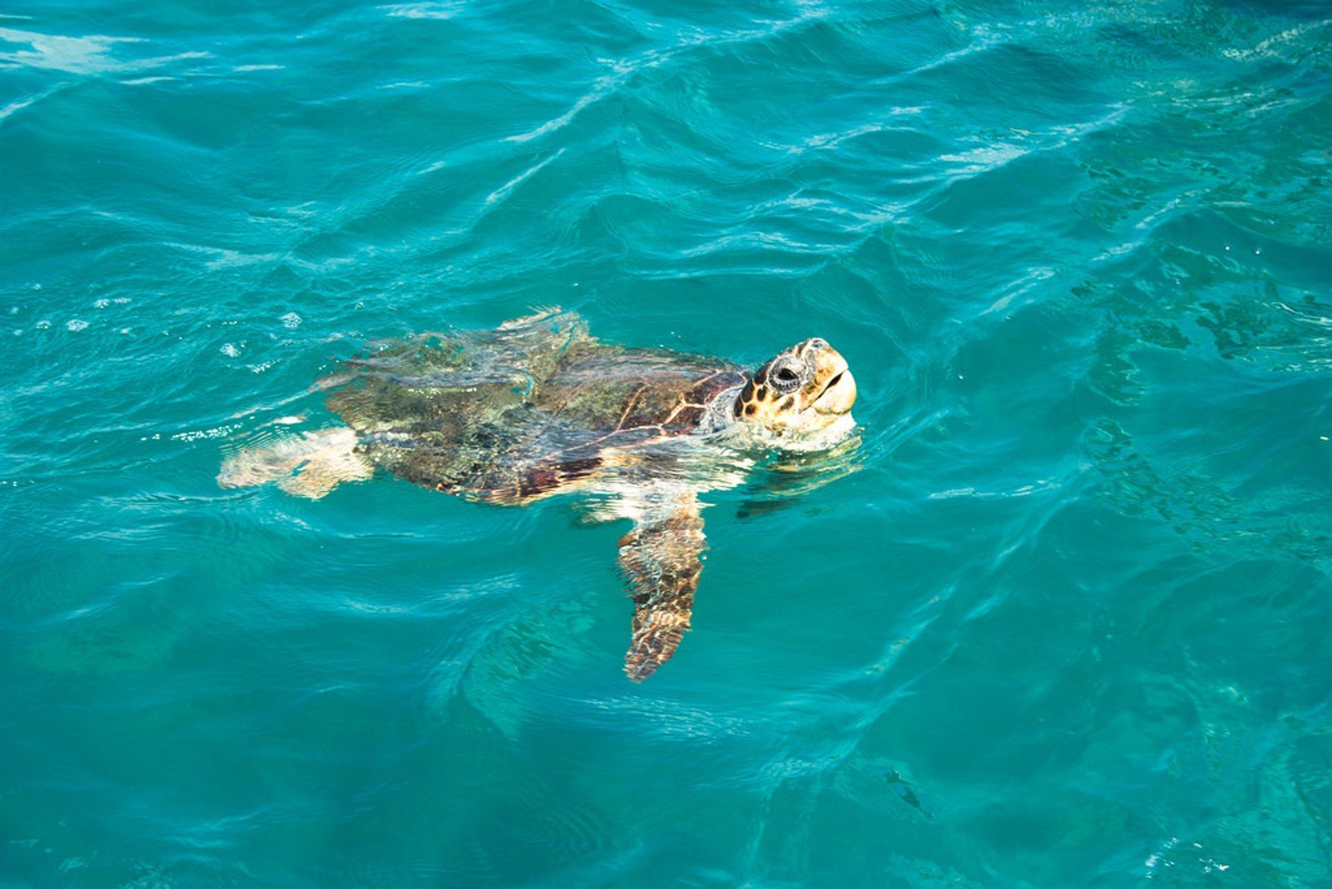 A huge Zakynthos turtle  2020