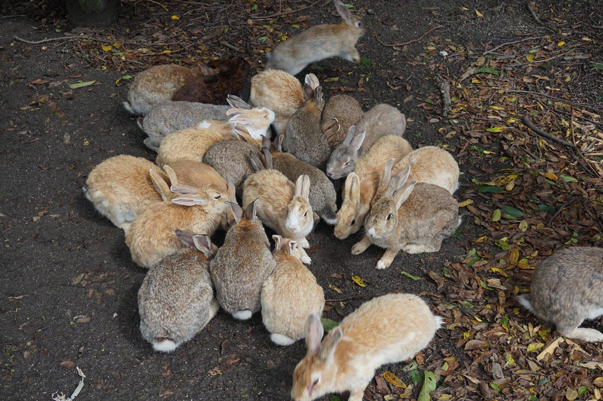 Okunoshima (Rabbit Island) in Japan 2019 - Best Time