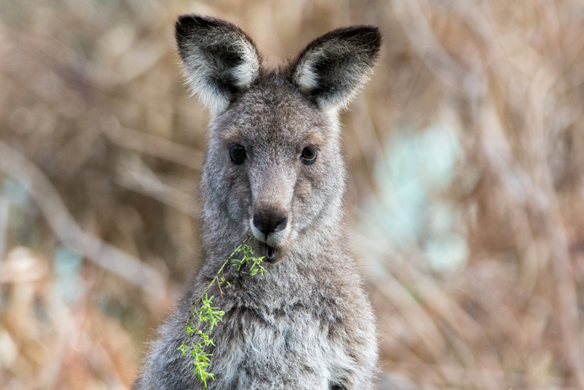 Eastern grey kangaroo 2020