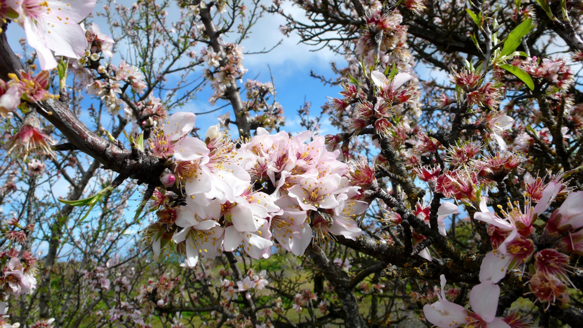 Almond Trees in Bloom in Canary Islands - Best Time