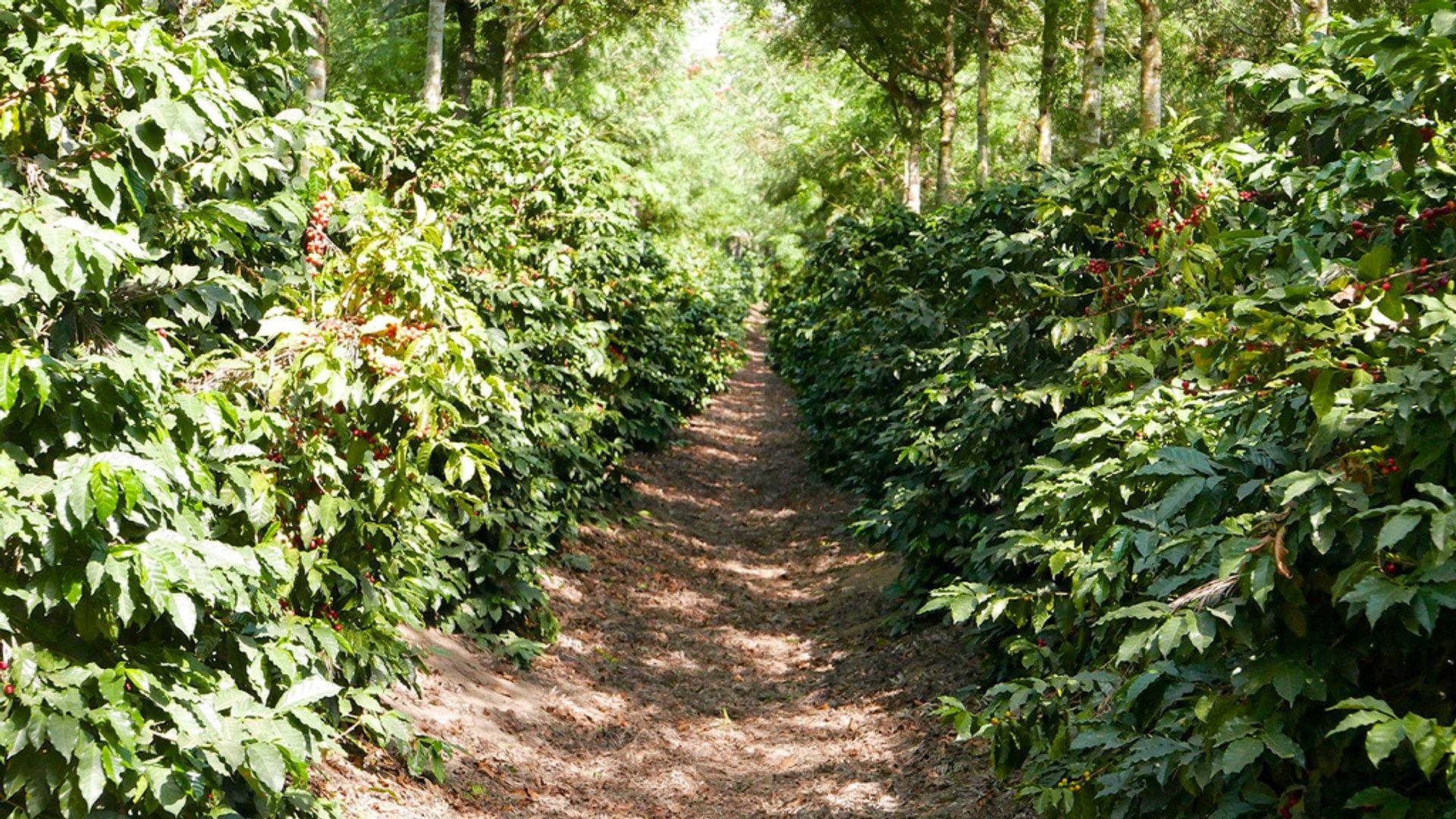Coffee Harvest in Honduras - Best Season