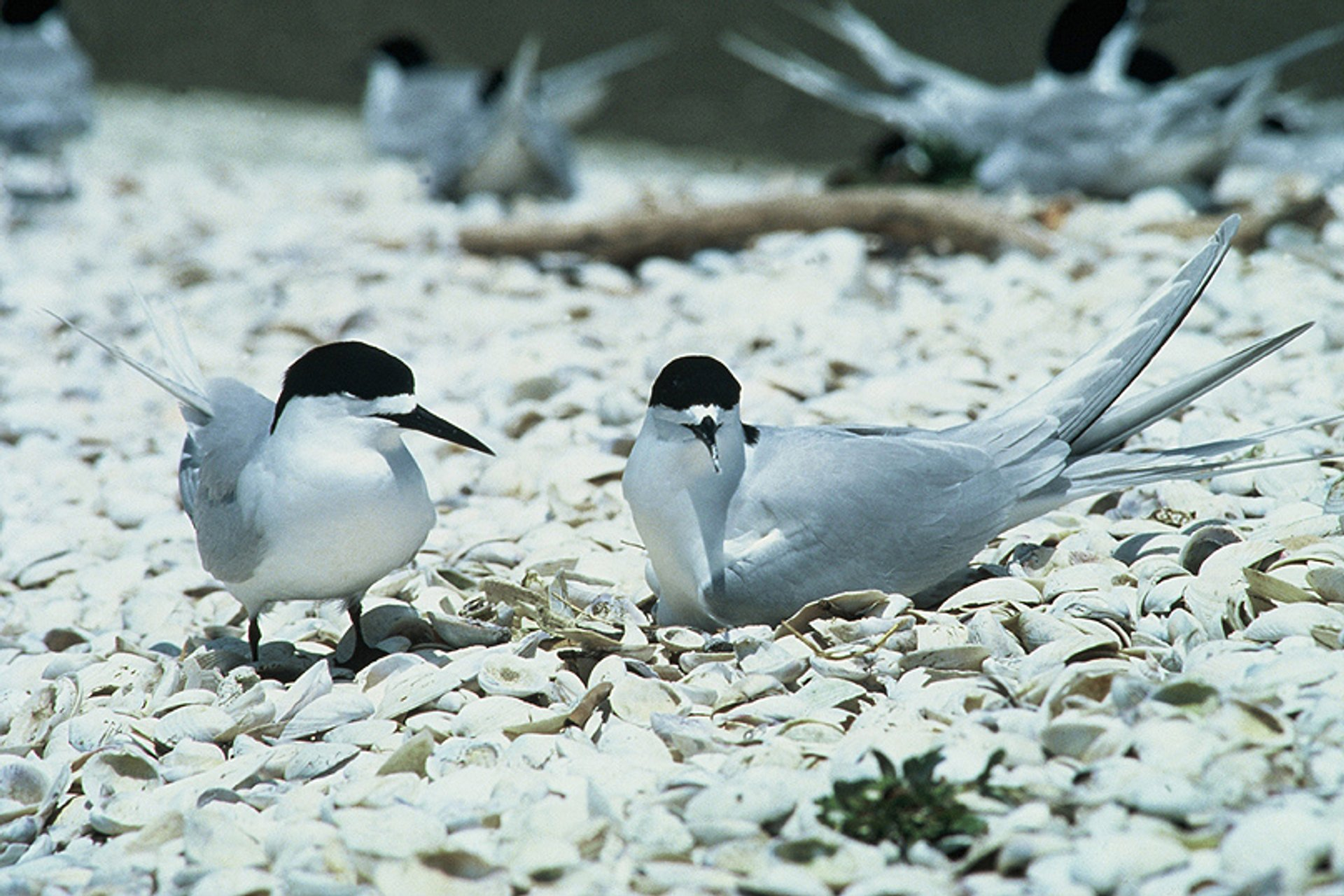 White-fronted tern pair, one on nest, Firth of Thames, New Zeland 2020