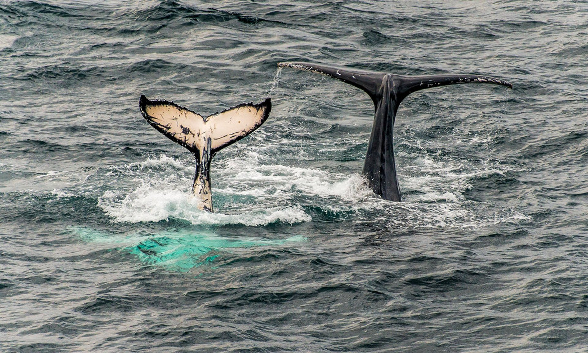 A tale of Two Tails.... a mature Humpback whale along with its calf spotted off the coast near Terrigal, New South Wales, Australia 2020