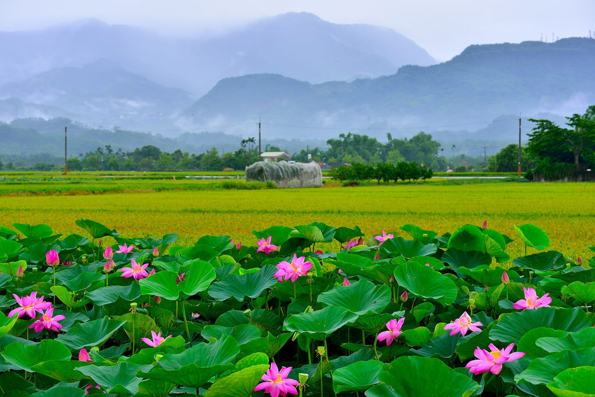 Best time for Tainan Baihe Lotus Season in Taiwan 2019