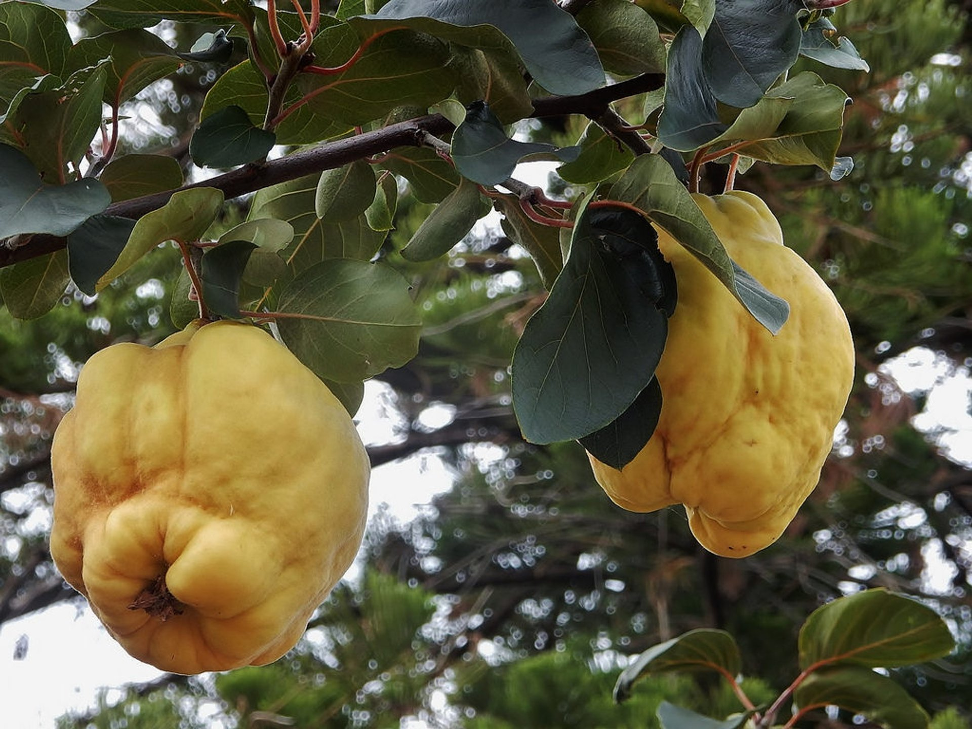 Quince  in Australia - Best Time