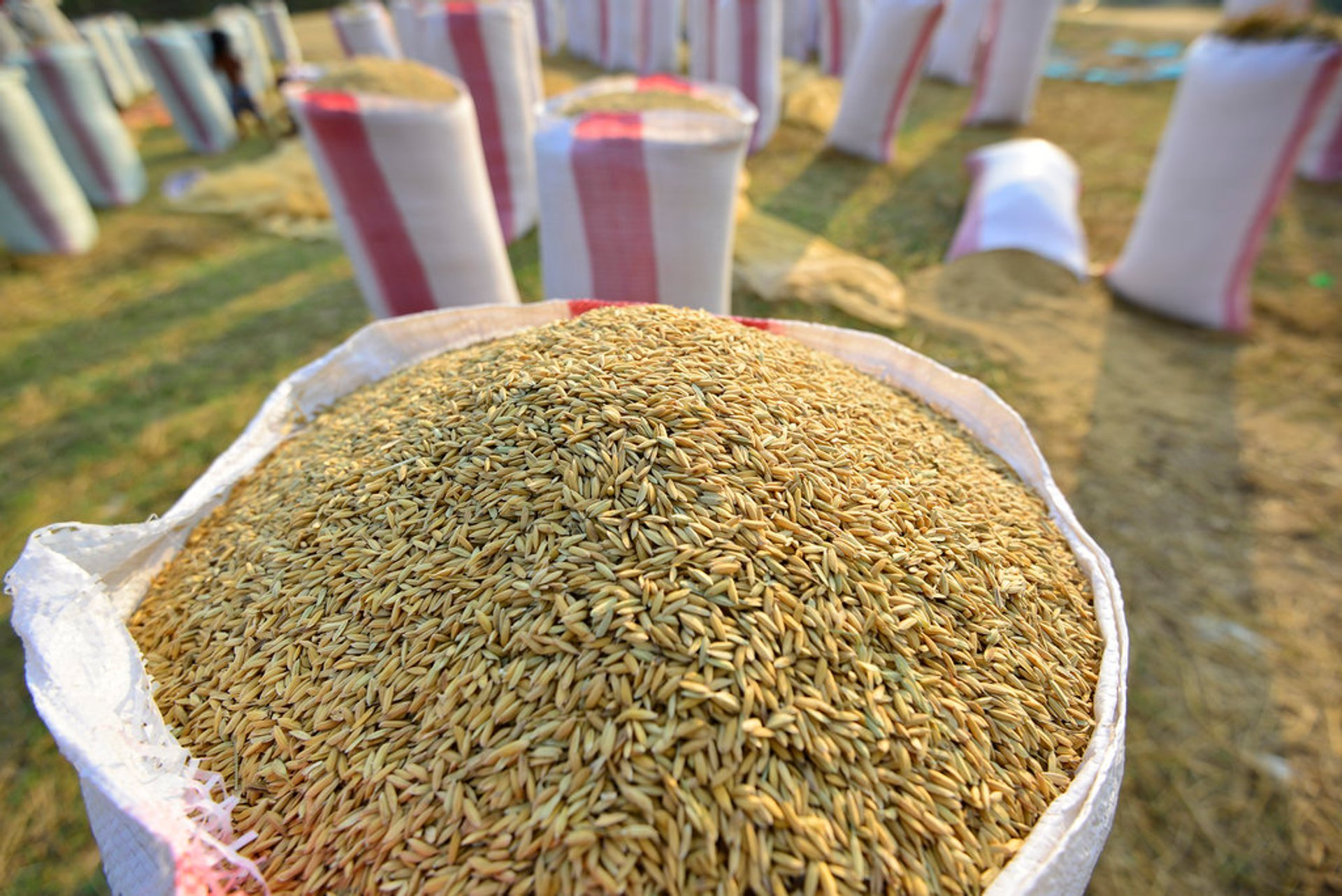 Harvested rice being dried and packed in Kampong Ko village, Kampong Thom province, Cambodia 2019