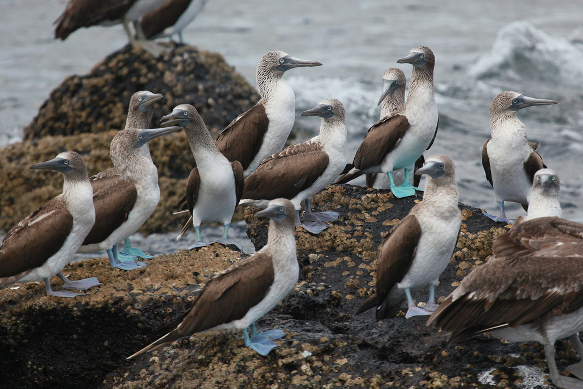 Best time for Blue-Footed Booby Performing its Mating Dance in Galapagos Islands