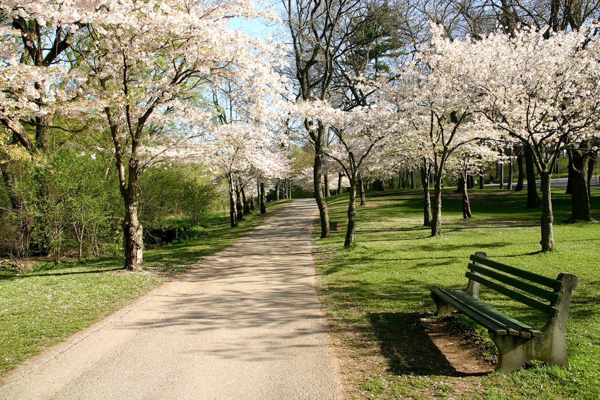High Park cherry blossoms 2020