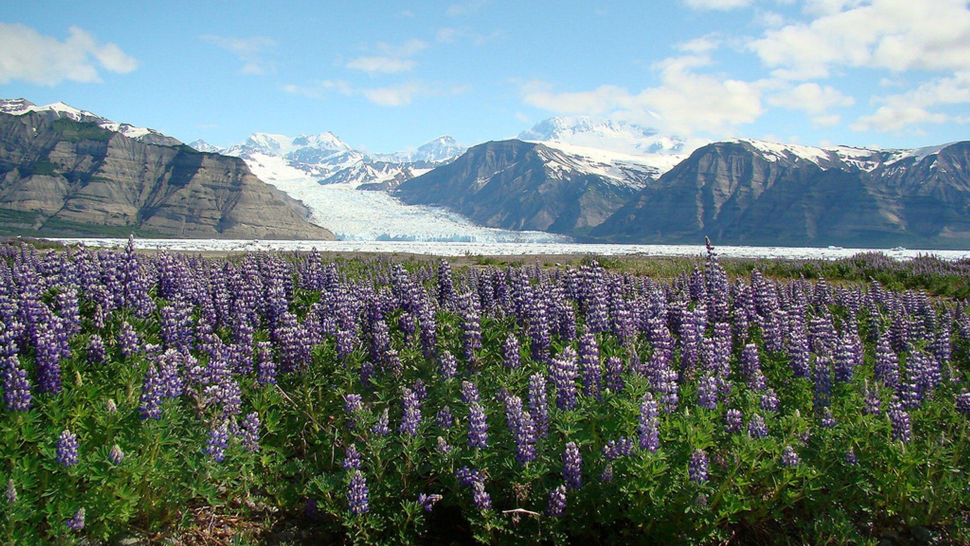 Lupine Fields in Bloom in Alaska 2019 - Best Time