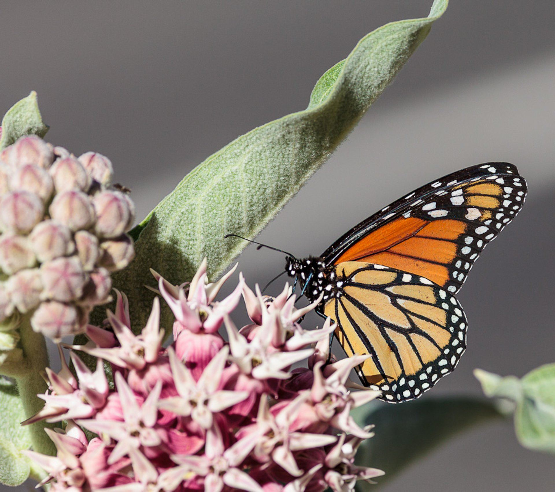 Best time for Milkweed and Monarch Butterflies in Yosemite 2020