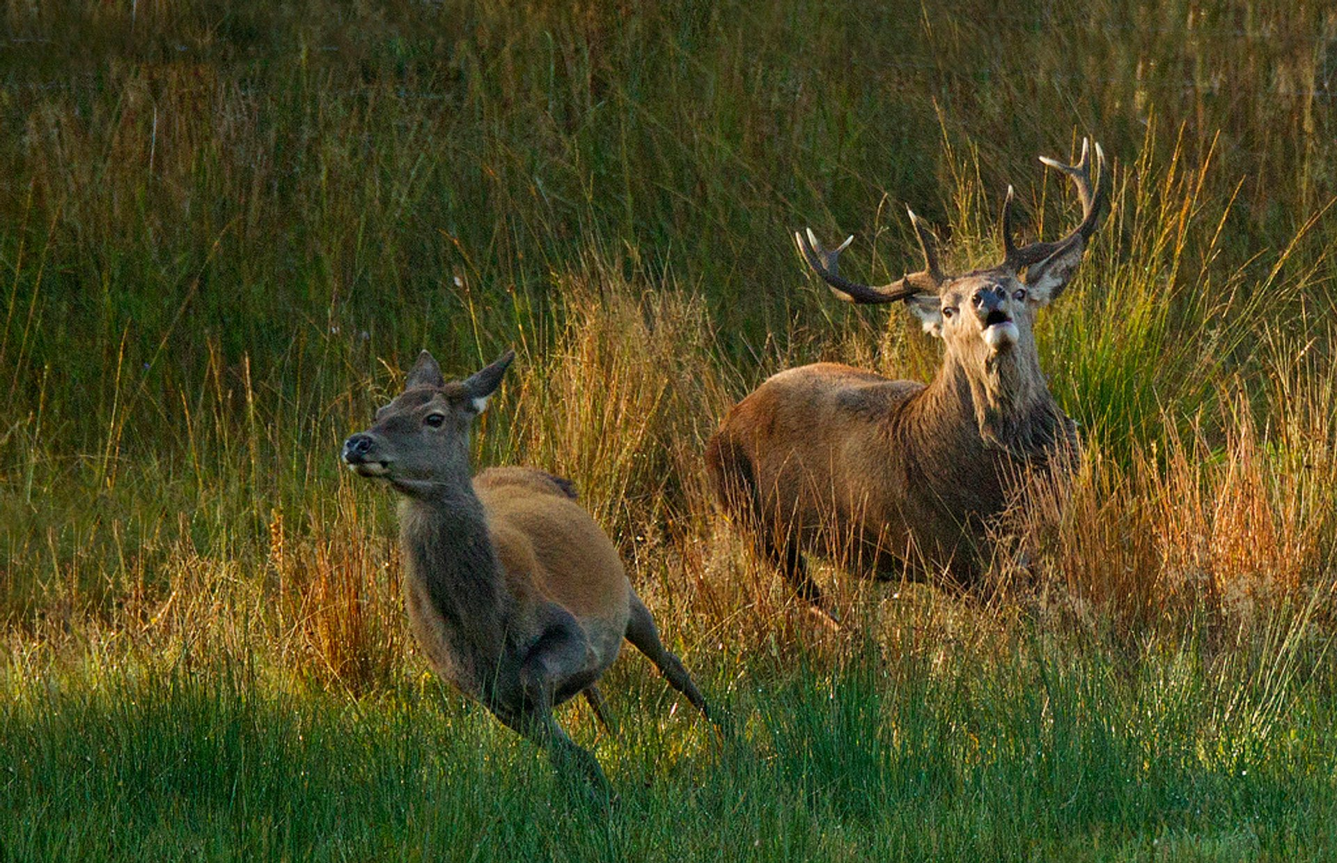 Red Deer​ Rutting in Scotland - Best Season 2019