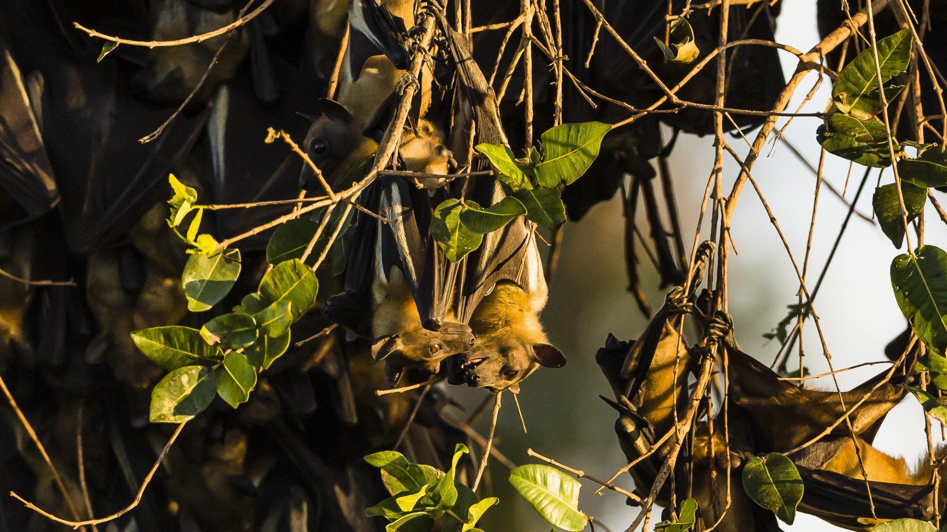 Bat Migration in Zambia - Best Season