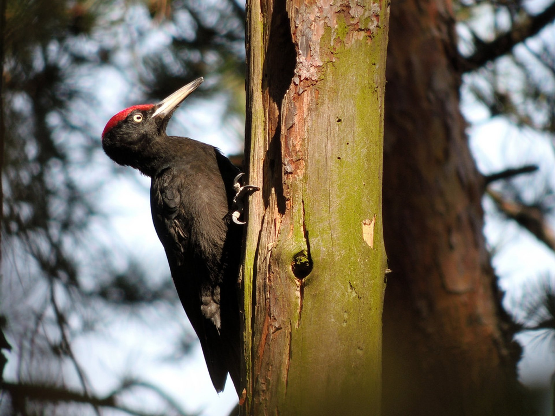 Black Woodpecker 2020