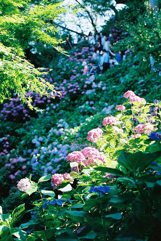 Hydrangea in Kamakura, Kanagawa Prefecture 2020