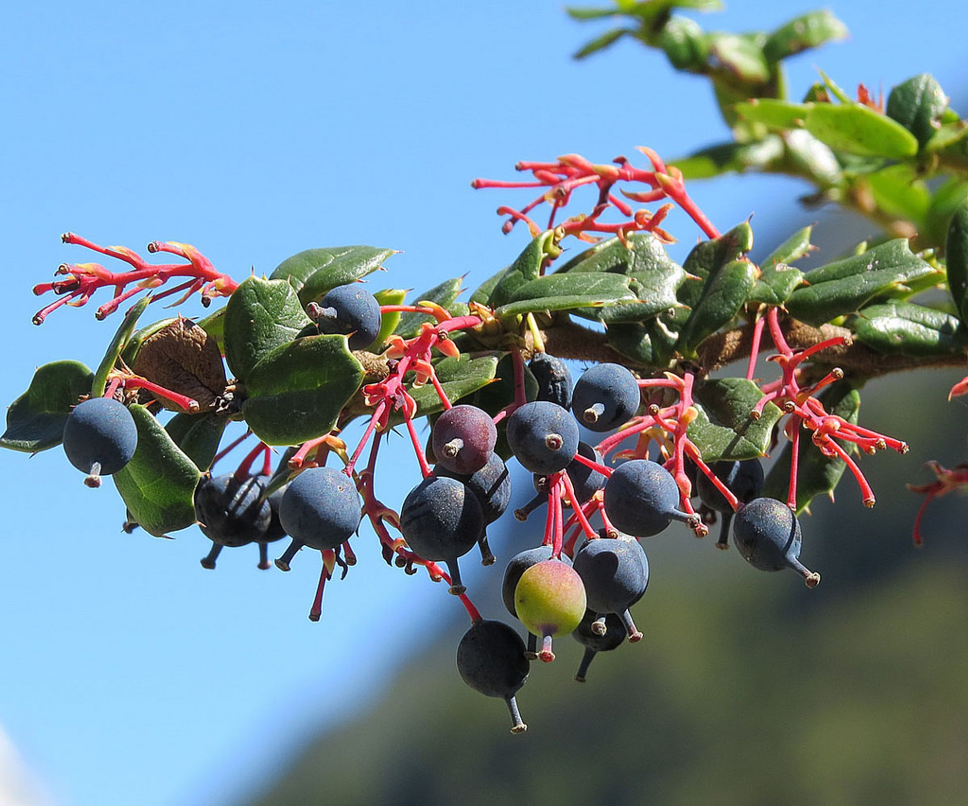 Calafate or Berberis in Chile 2019 - Best Time