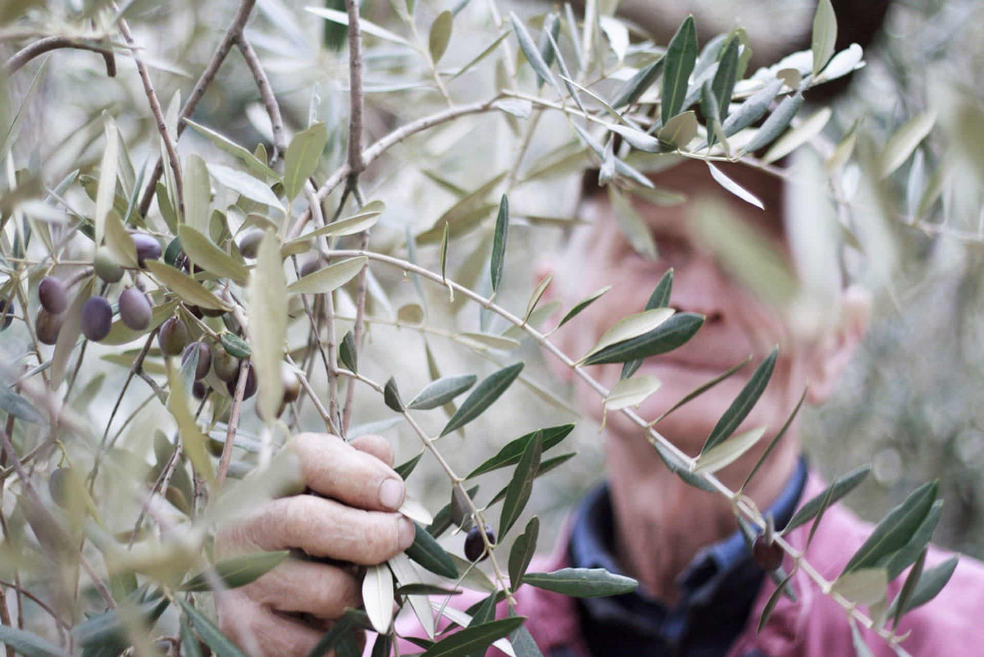 Olive Harvest in Tuscany - Best Season 2020