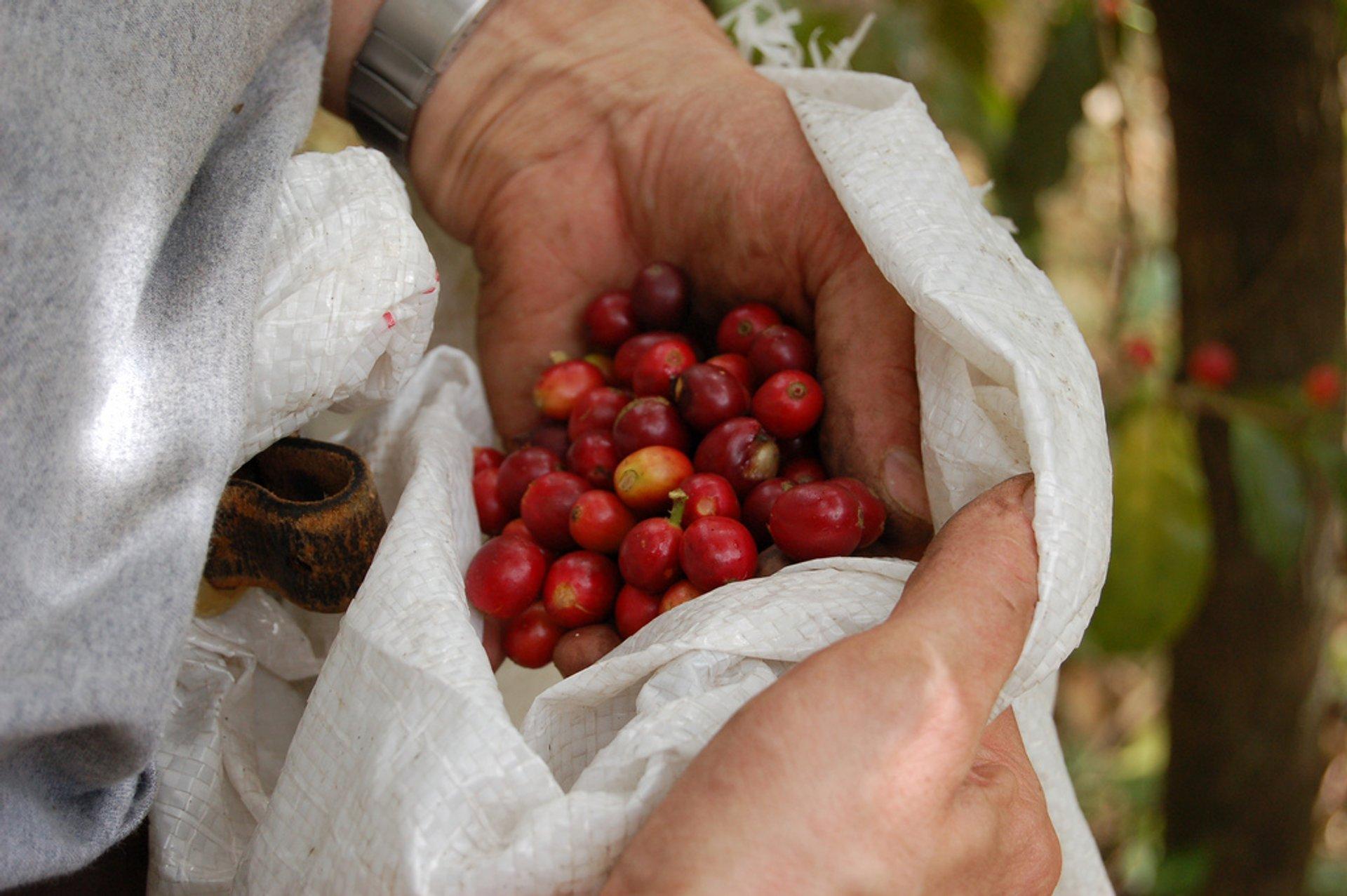 Inspecting coffee cherries 2020