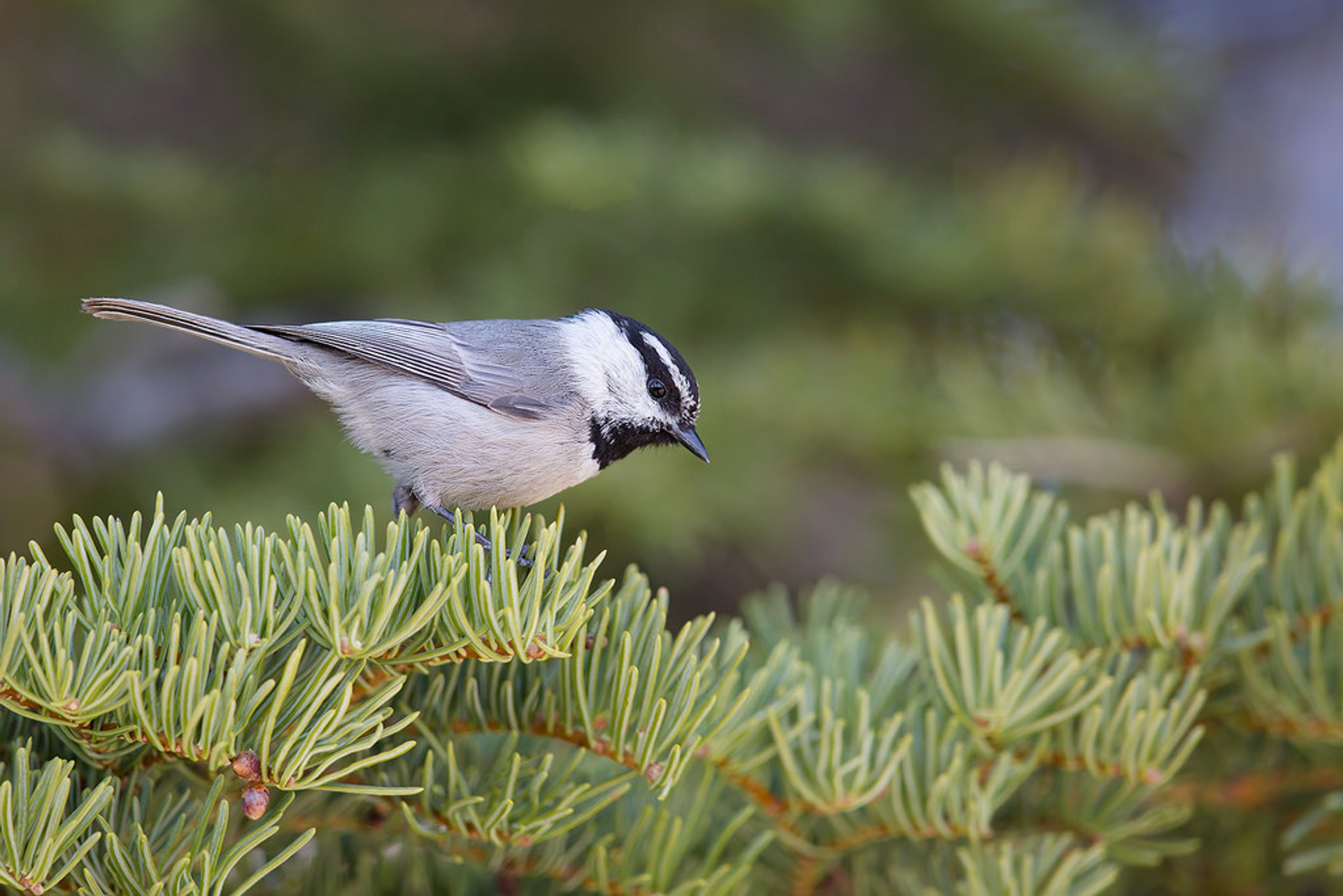 Mountain Chickadee  2020