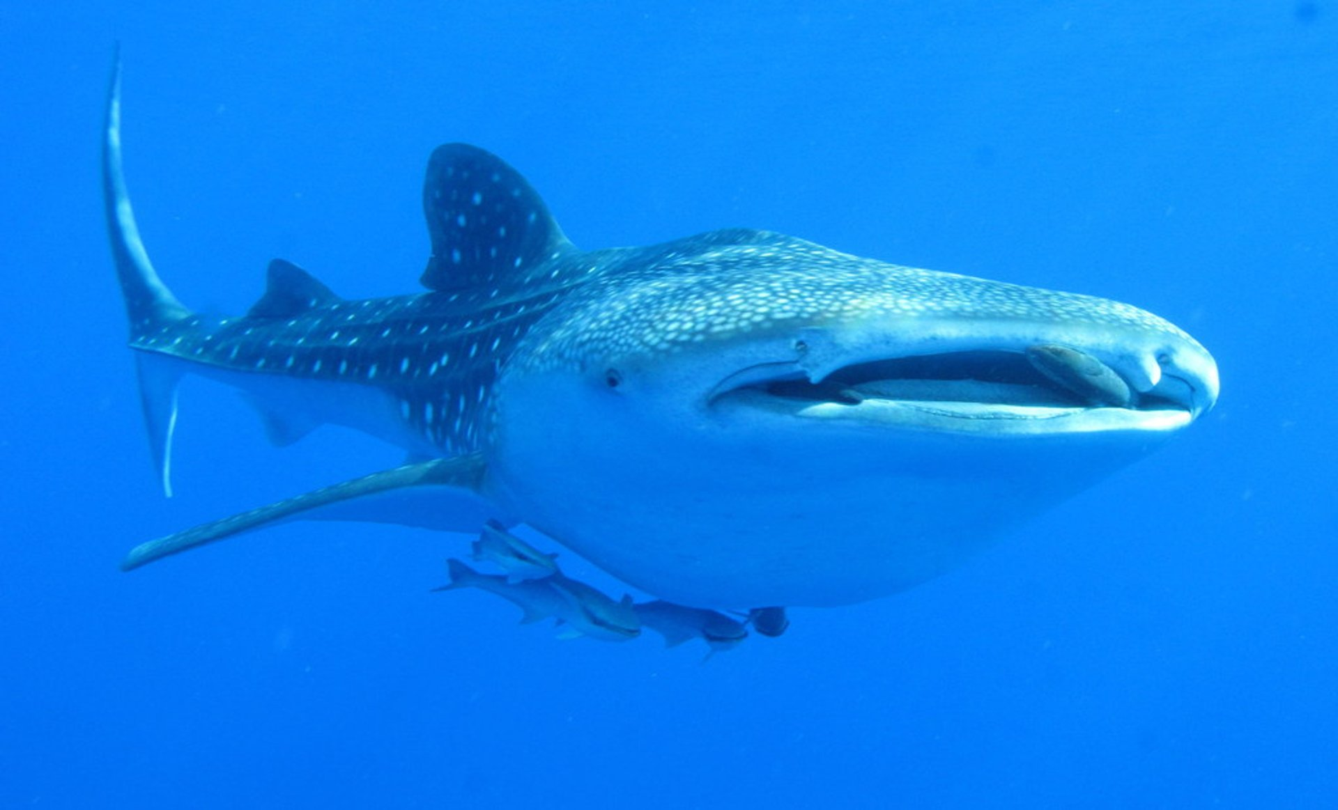 Whaleshark over Daedalus Reef, Red Sea 2020
