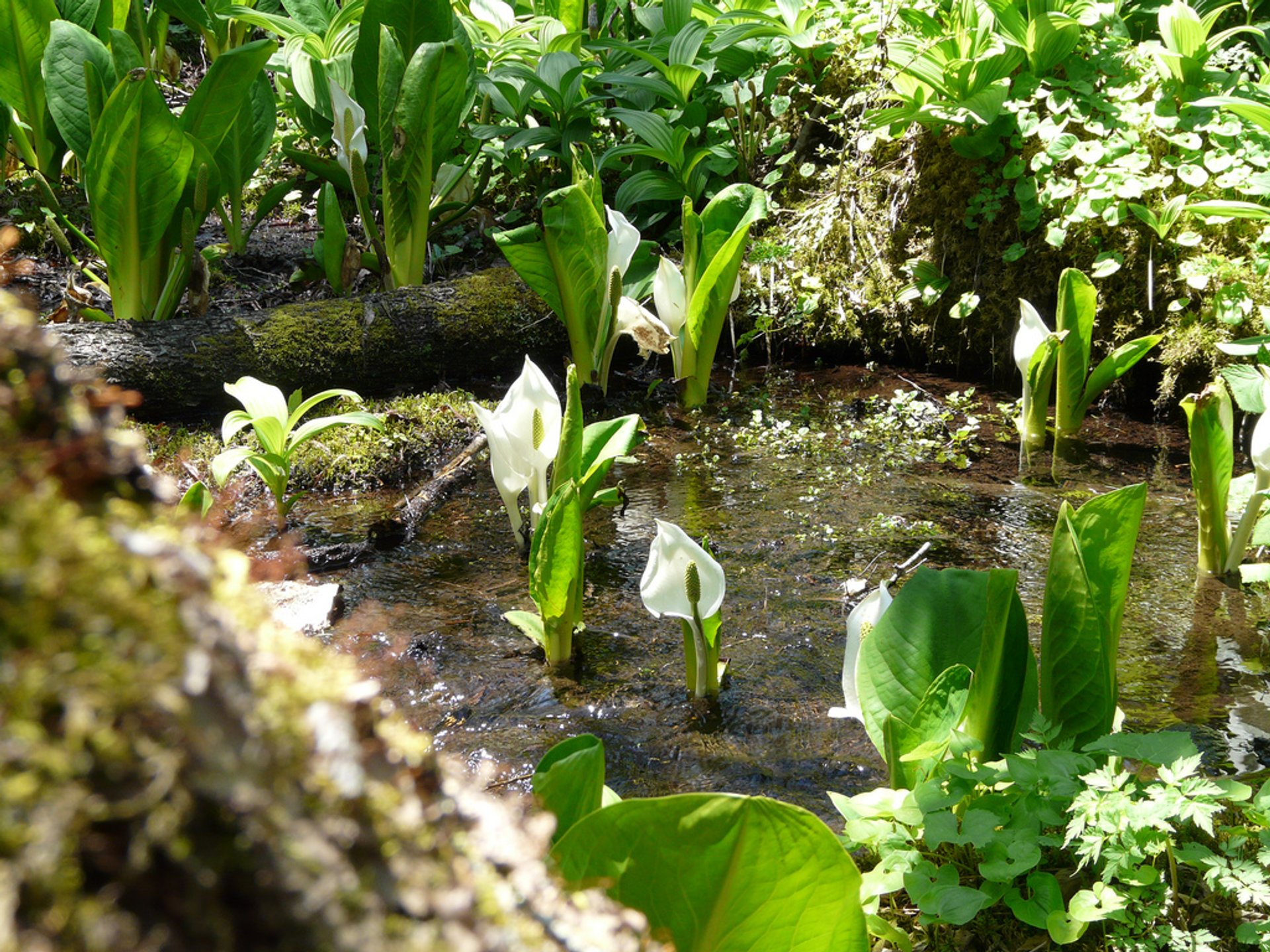 Best time for Mizubasho or Skunk Cabbage in Japan 2020