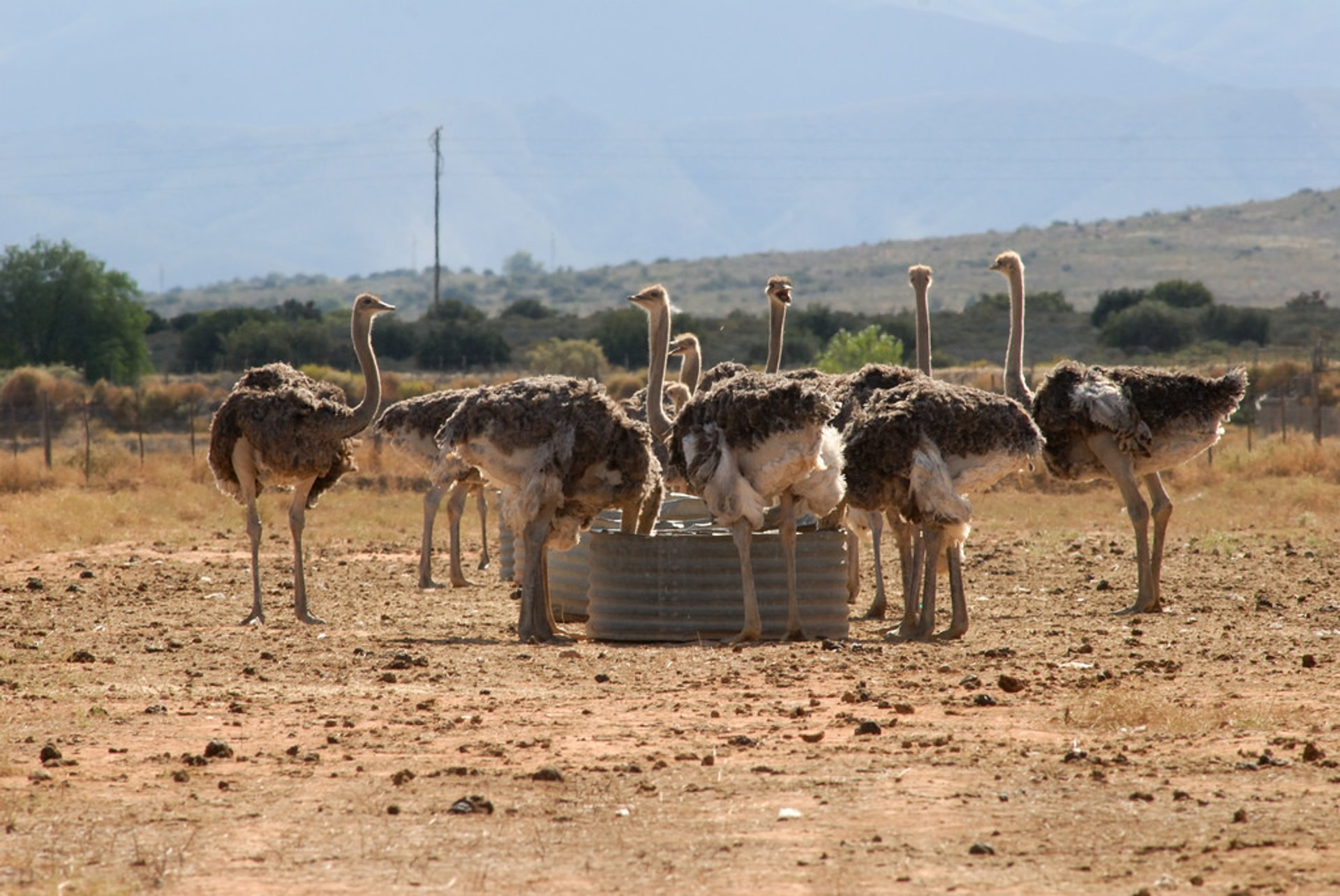 Best time to see Oudtshoorn Ostriches 2020