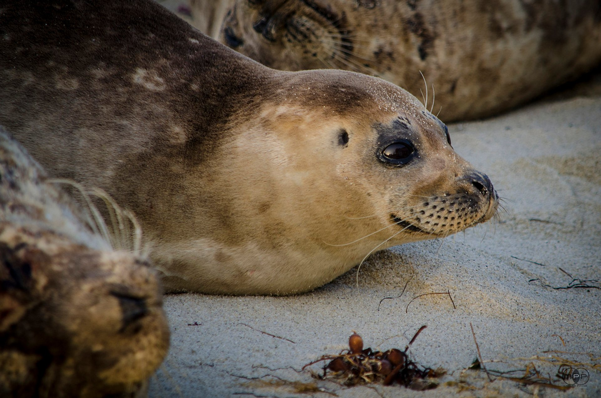 Wild Harbour Seals, Casa Beach, La Jolla 2019