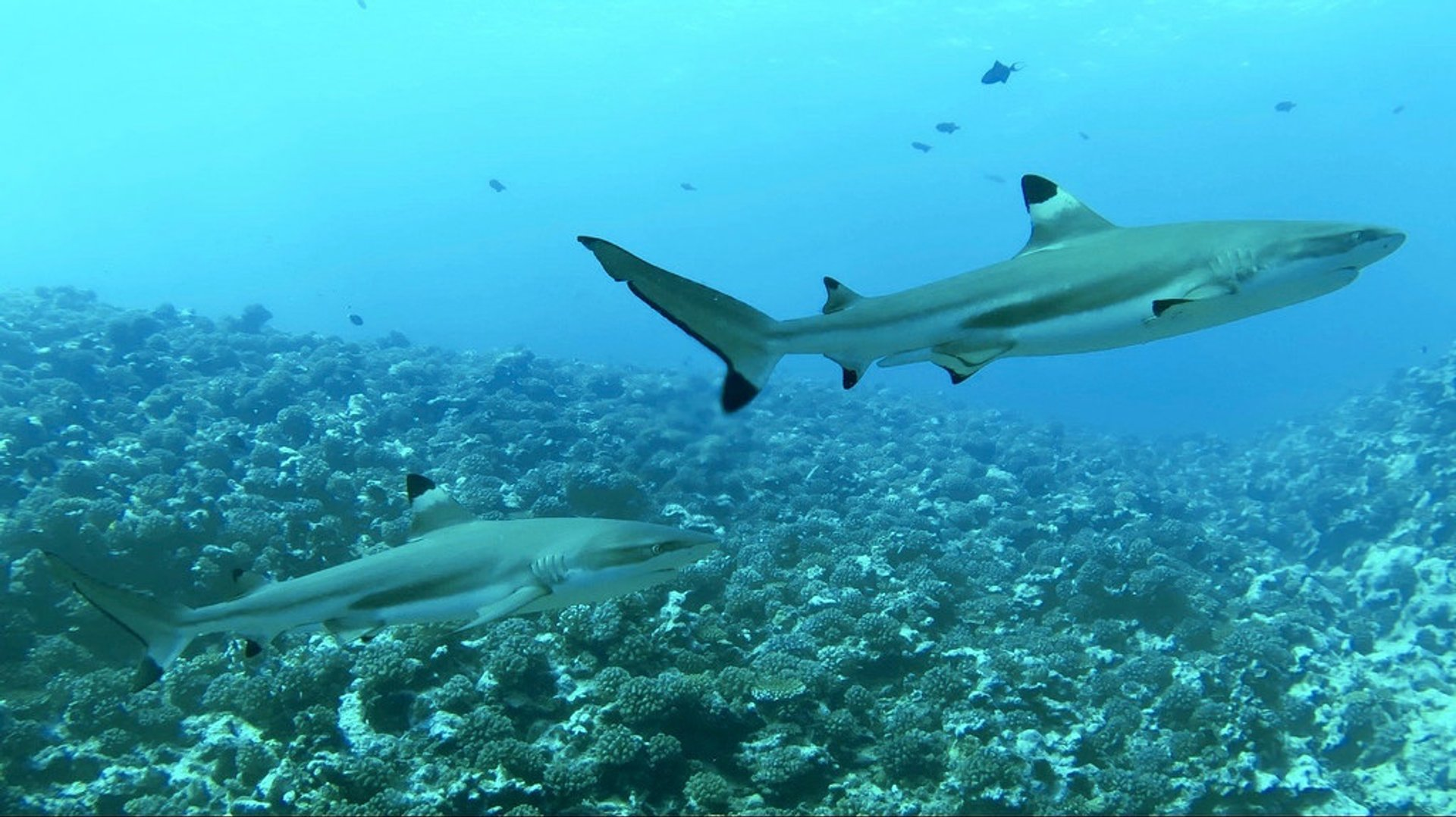 Best time for Wall of Sharks in French Polynesia 2019