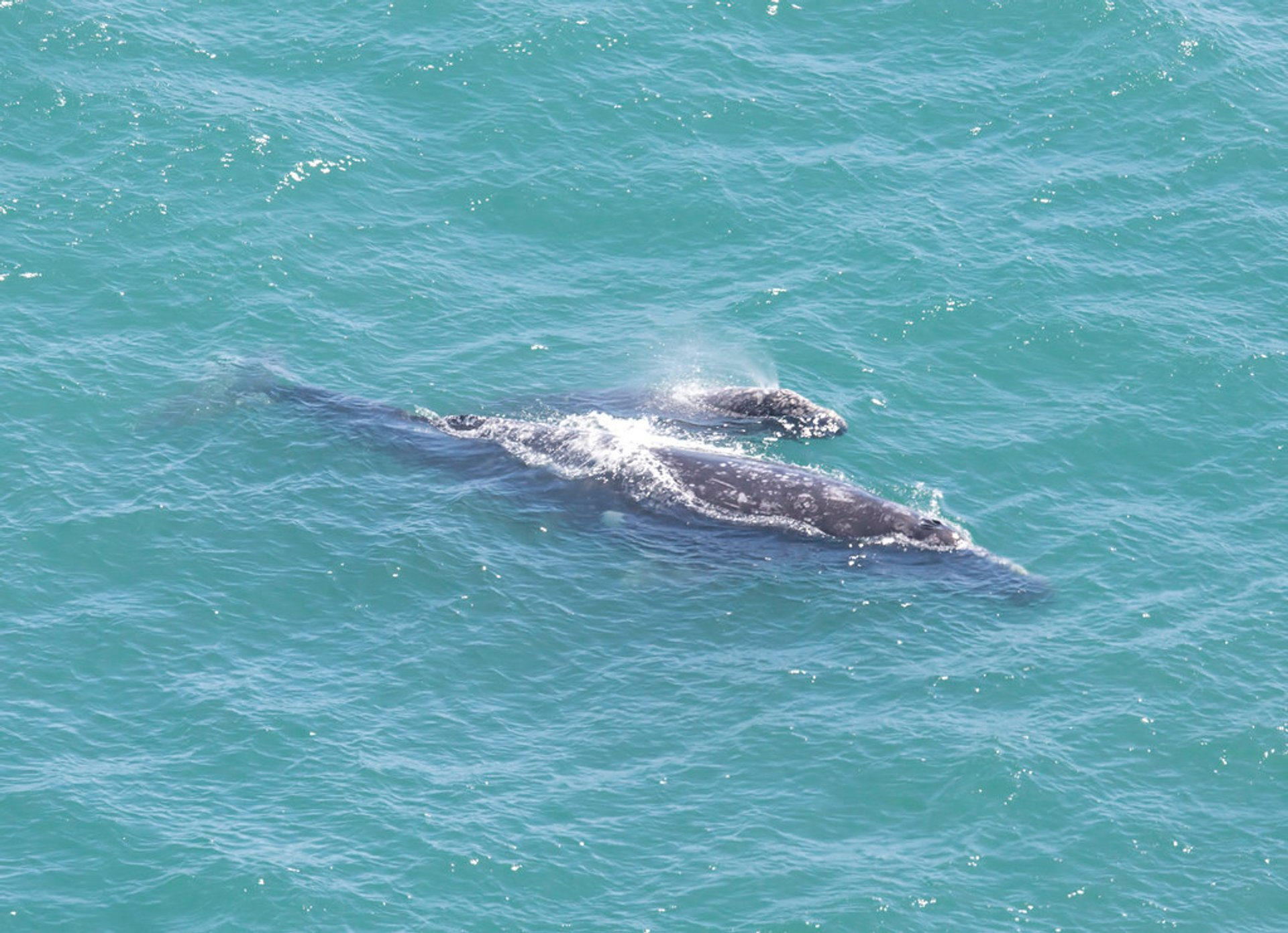 Gray whale mother and calf  at Point Reyes Lighthouse 2020