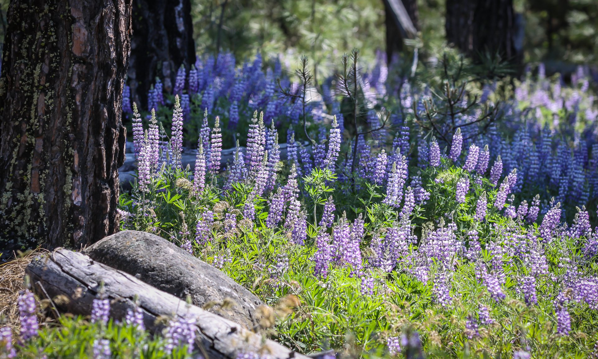 Native lupine in bloom on public lands east of Goldendale 2020