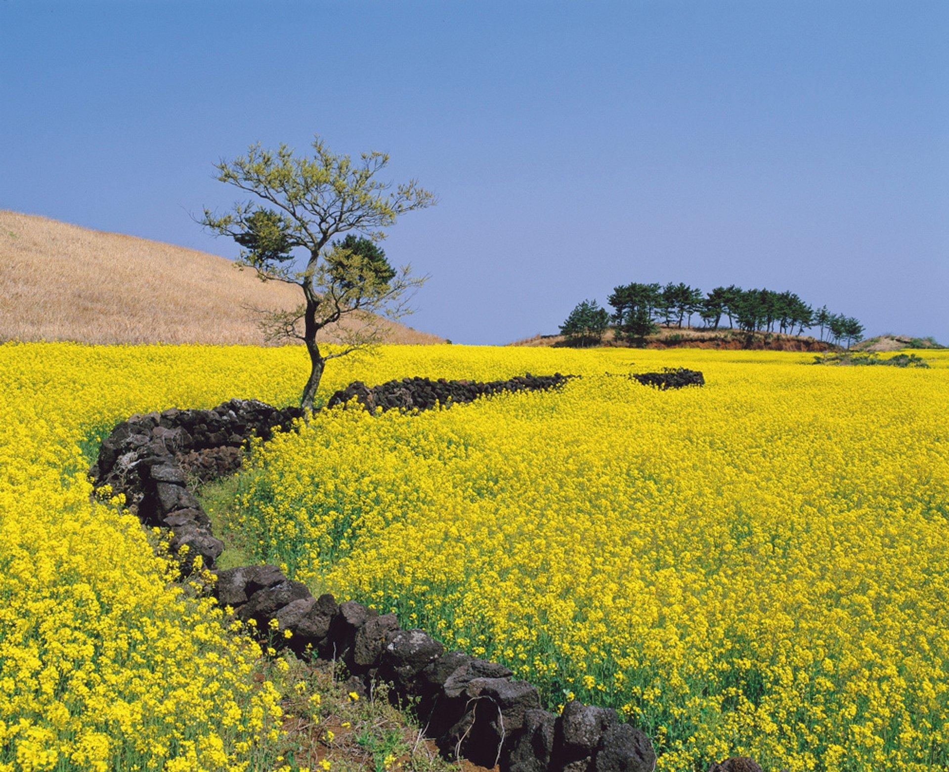 Canola (Yuche) Bloom on Jeju Island in South Korea - Best Season 2020