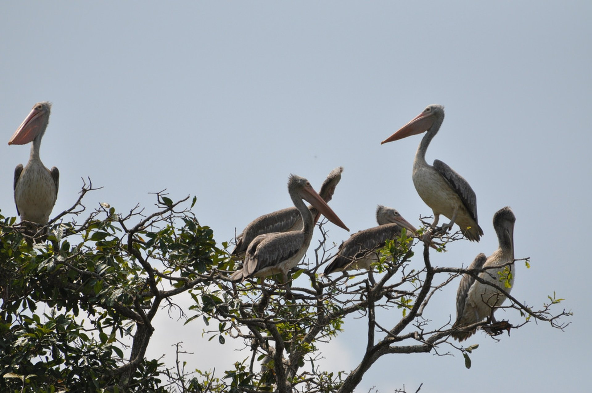 Spot Billed Pelicans 2019