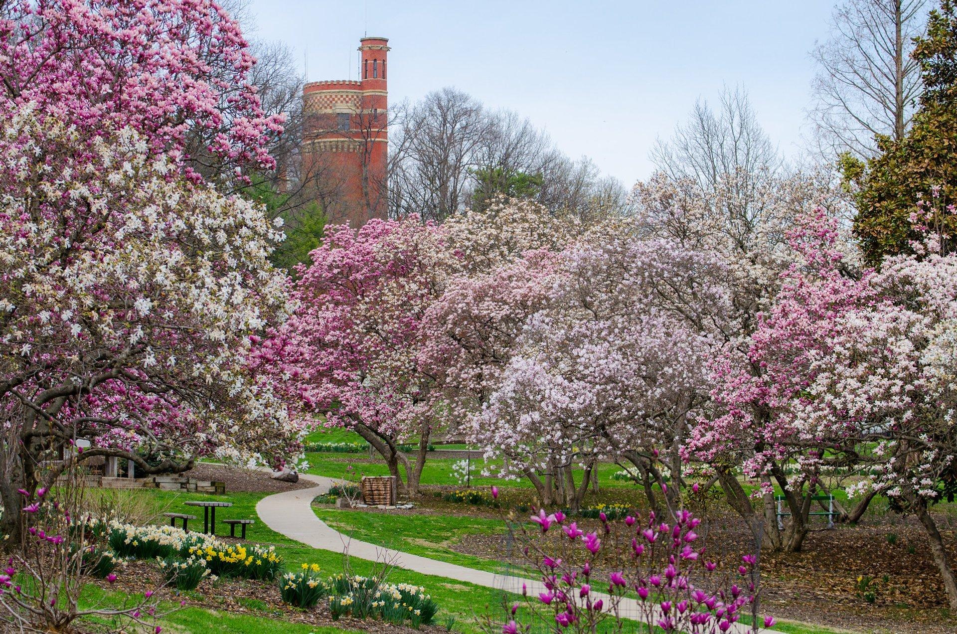 Magnolia blossoms at Eden Park, Cincinnati 2020