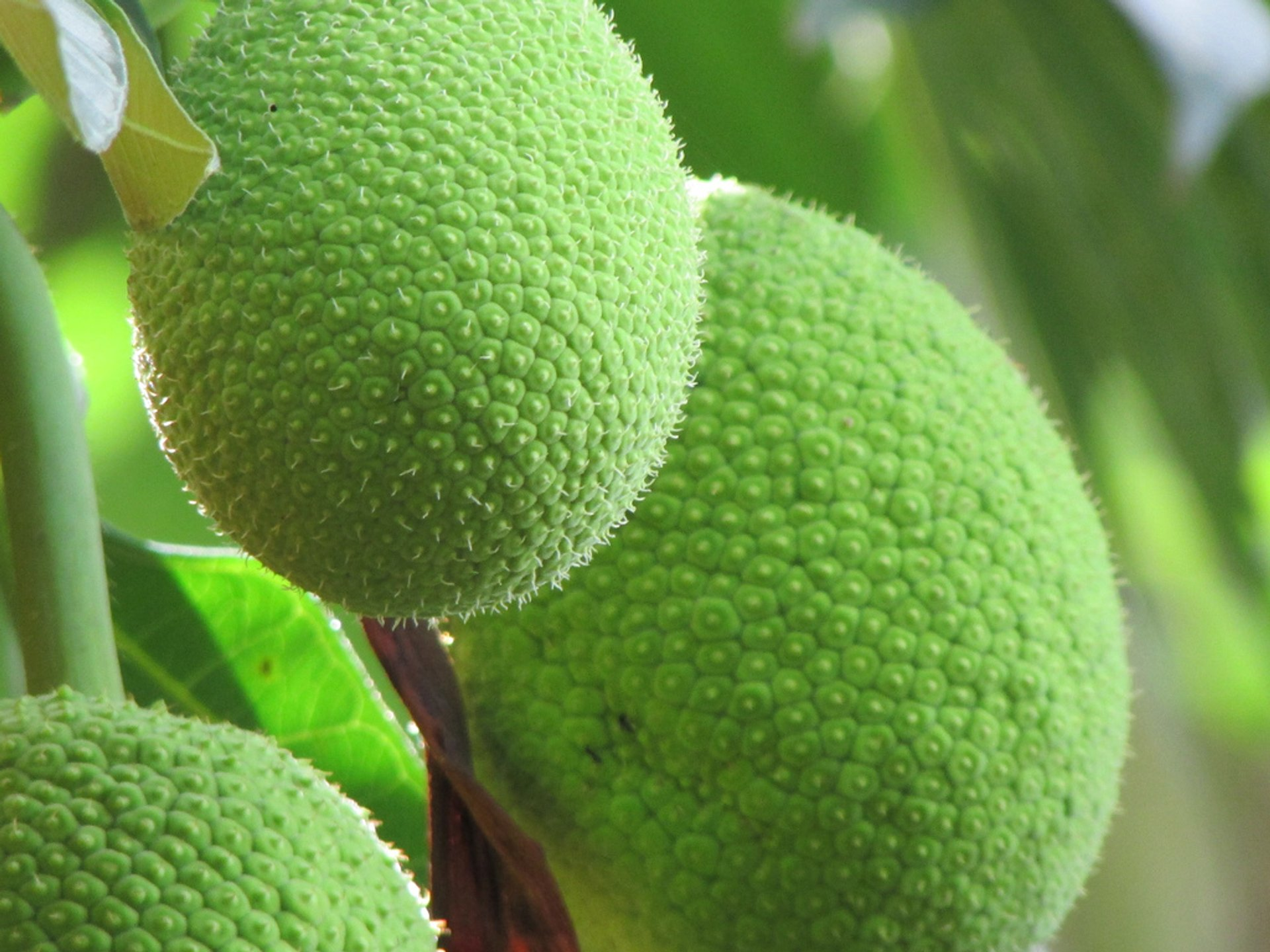 Breadfruit Season in Mauritius 2019 - Best Time