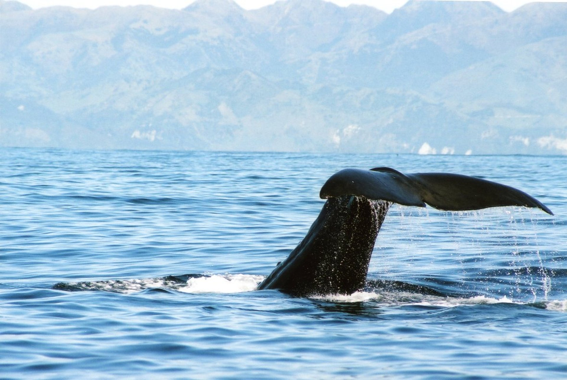 Whale Watching in New Zealand 2019 - Best Time