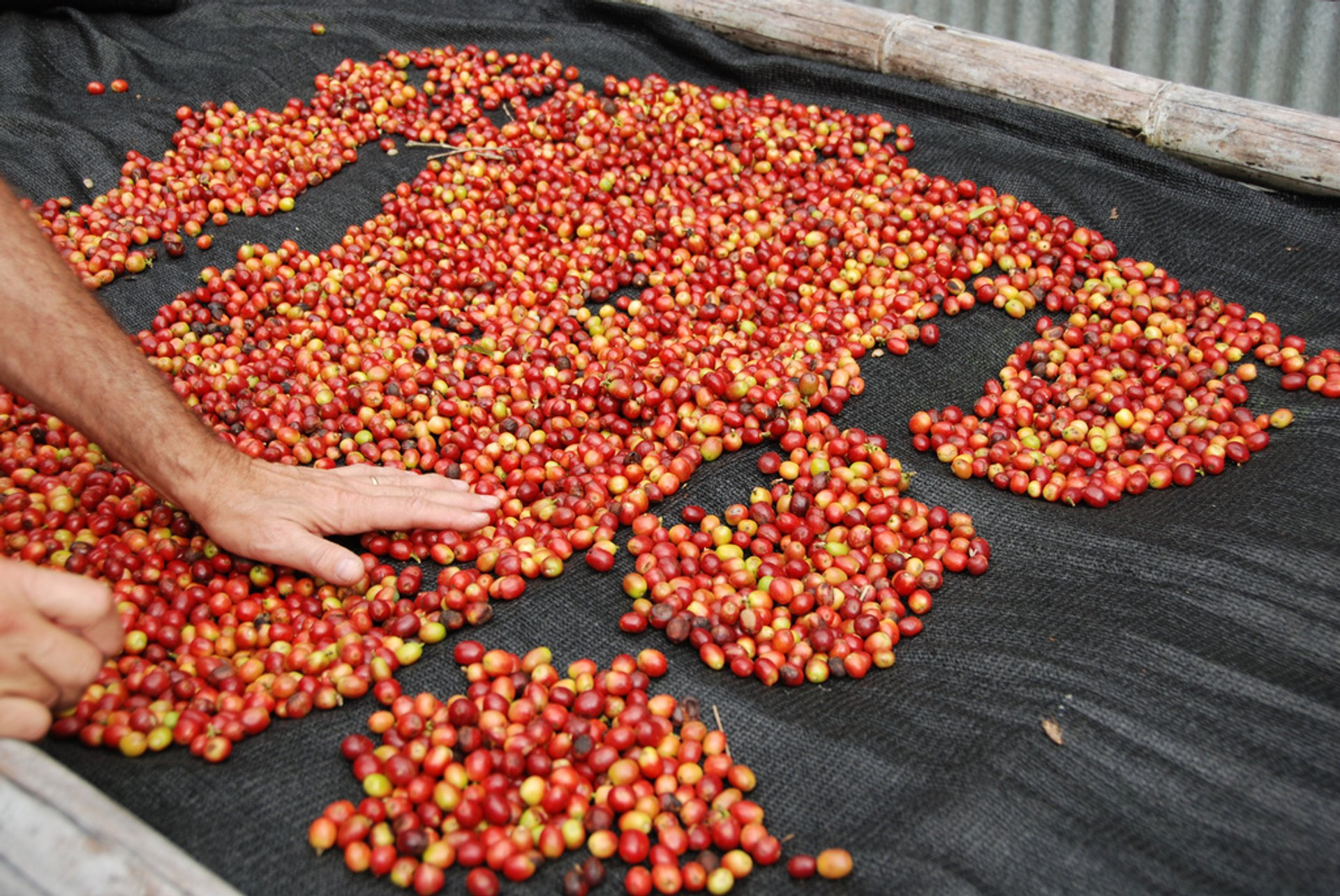 Coffee Picking Season in Panama - Best Time