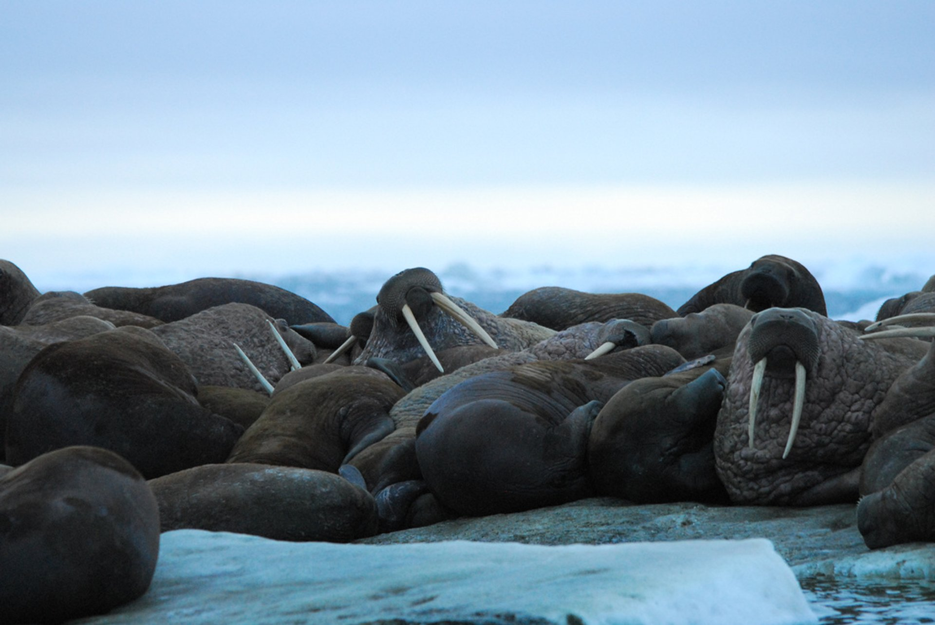 Walrus Watching in Alaska - Best Season 2020