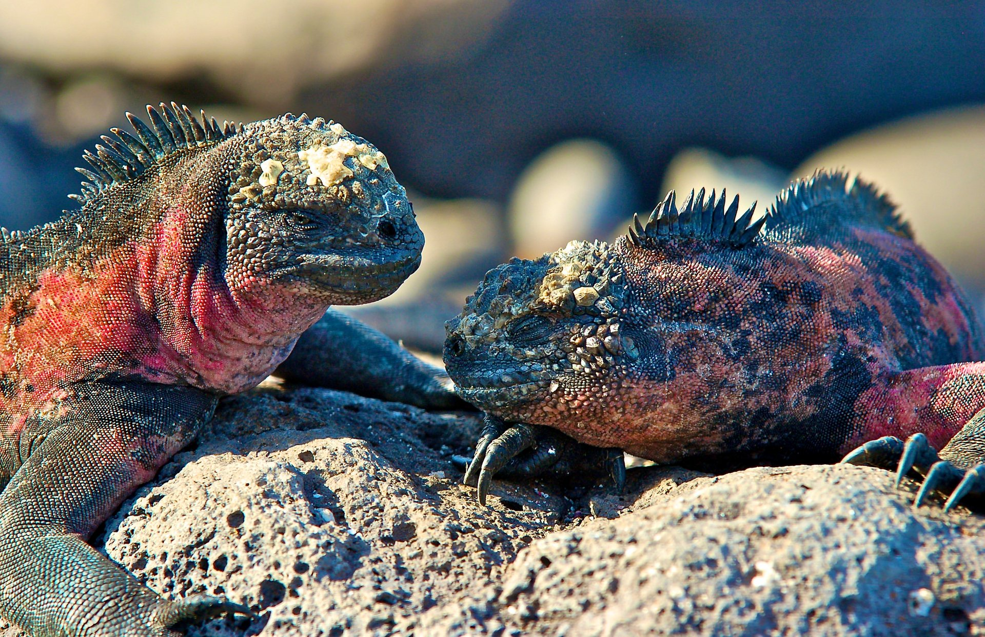 Marine Iguanas in Galapagos Islands - Best Time