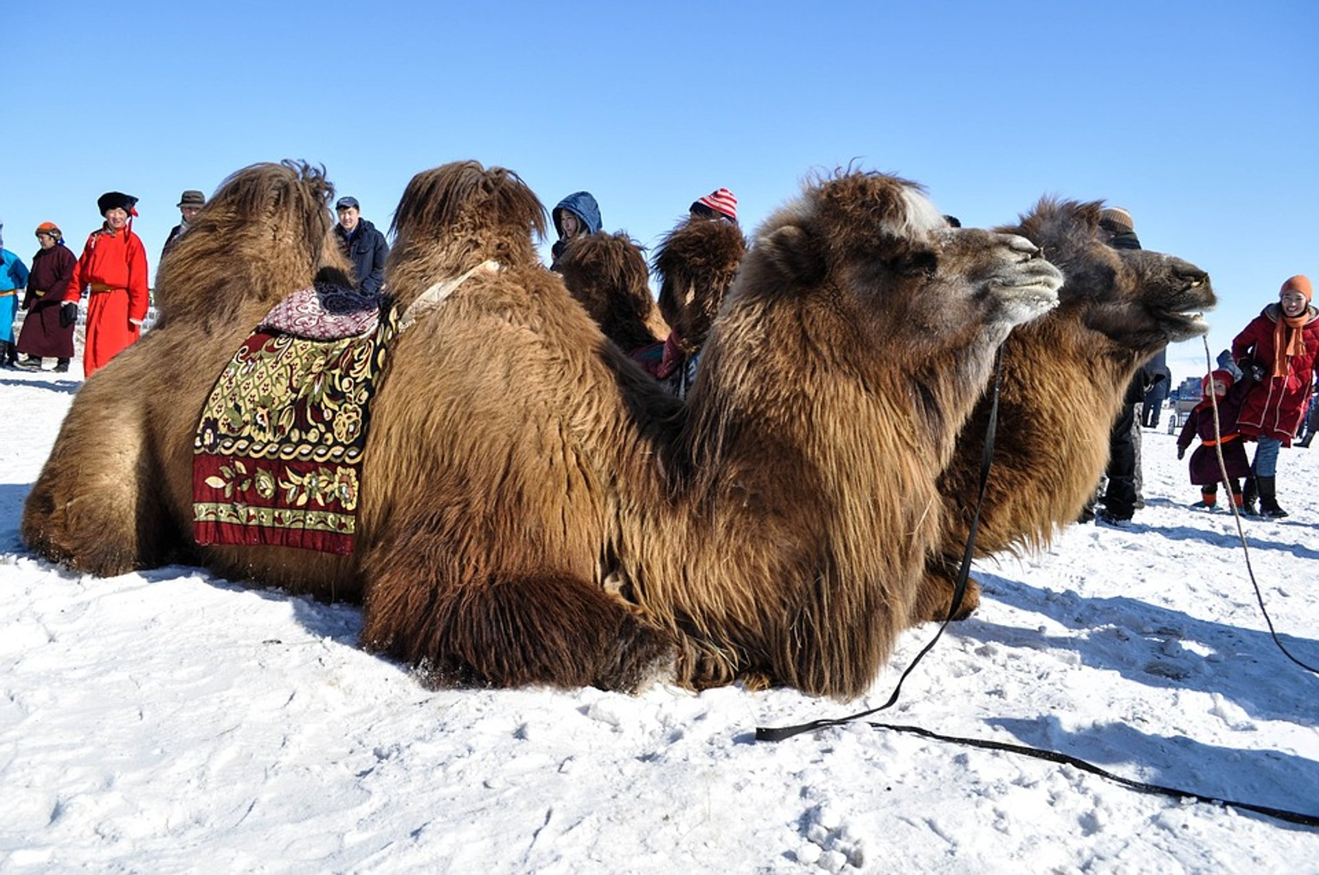 Thousand Camel Festival in Mongolia 2020 - Best Time