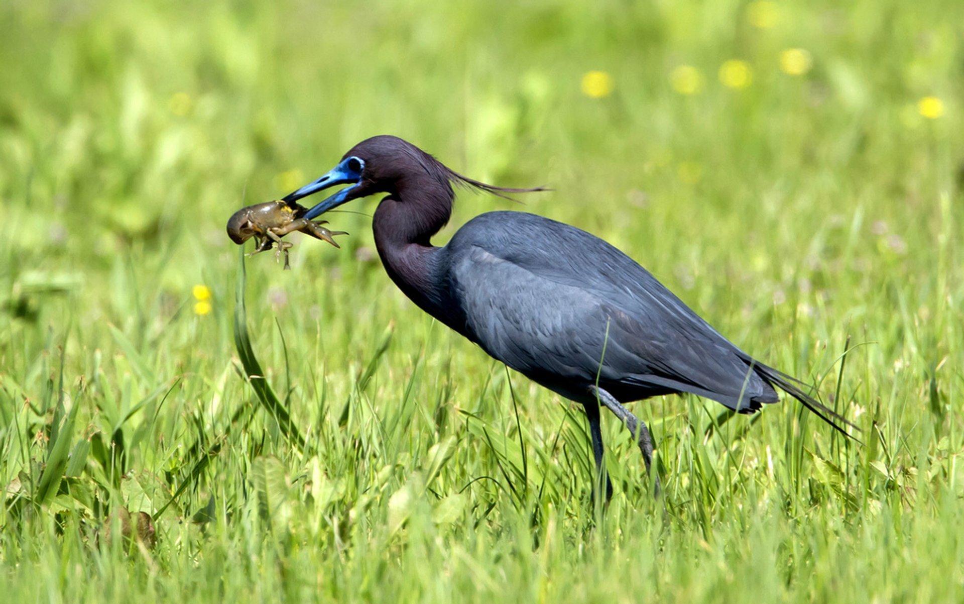 Blue Heron 2020