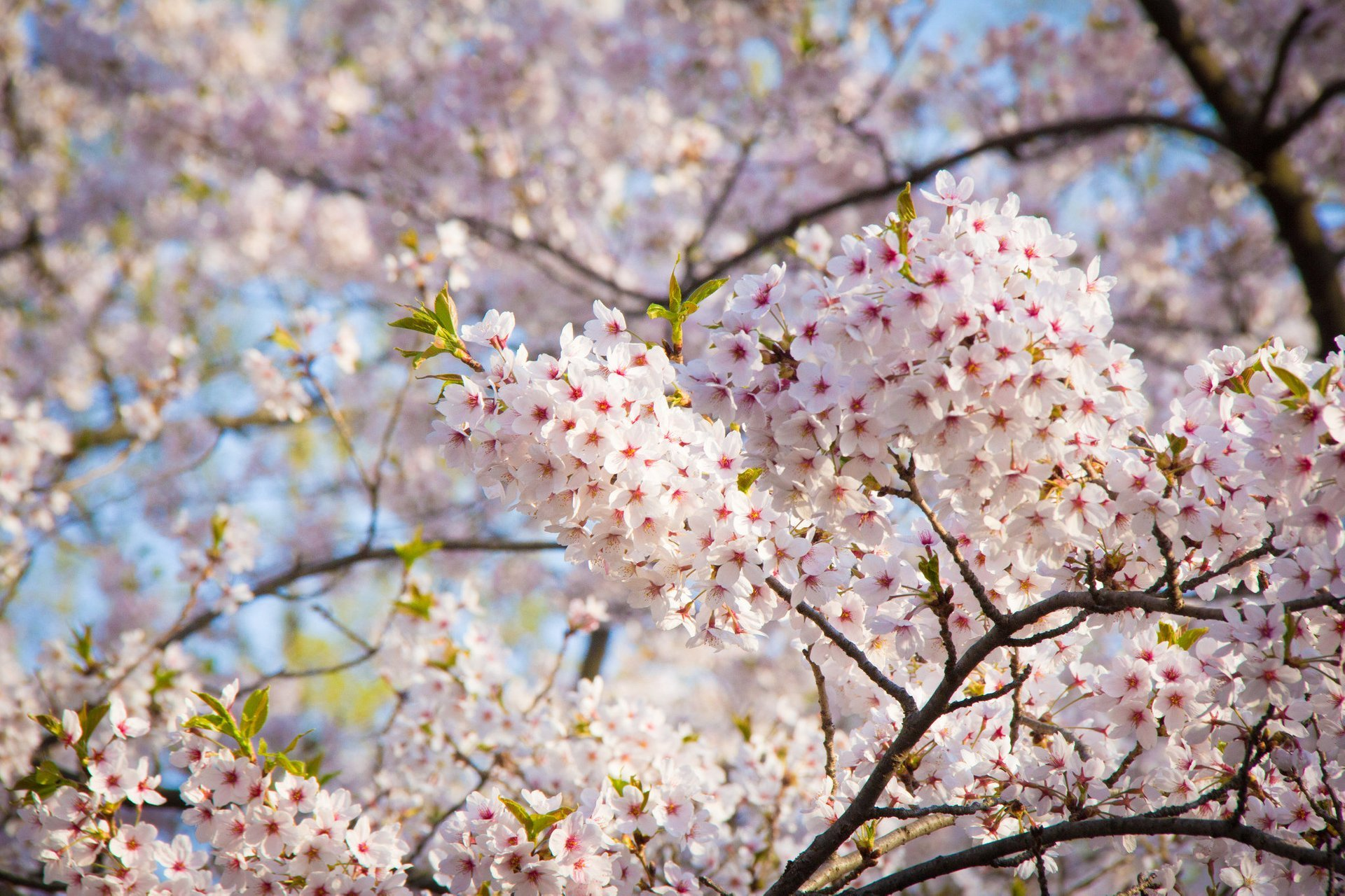 Cherry Blossom in Toronto 2019 - Best Time