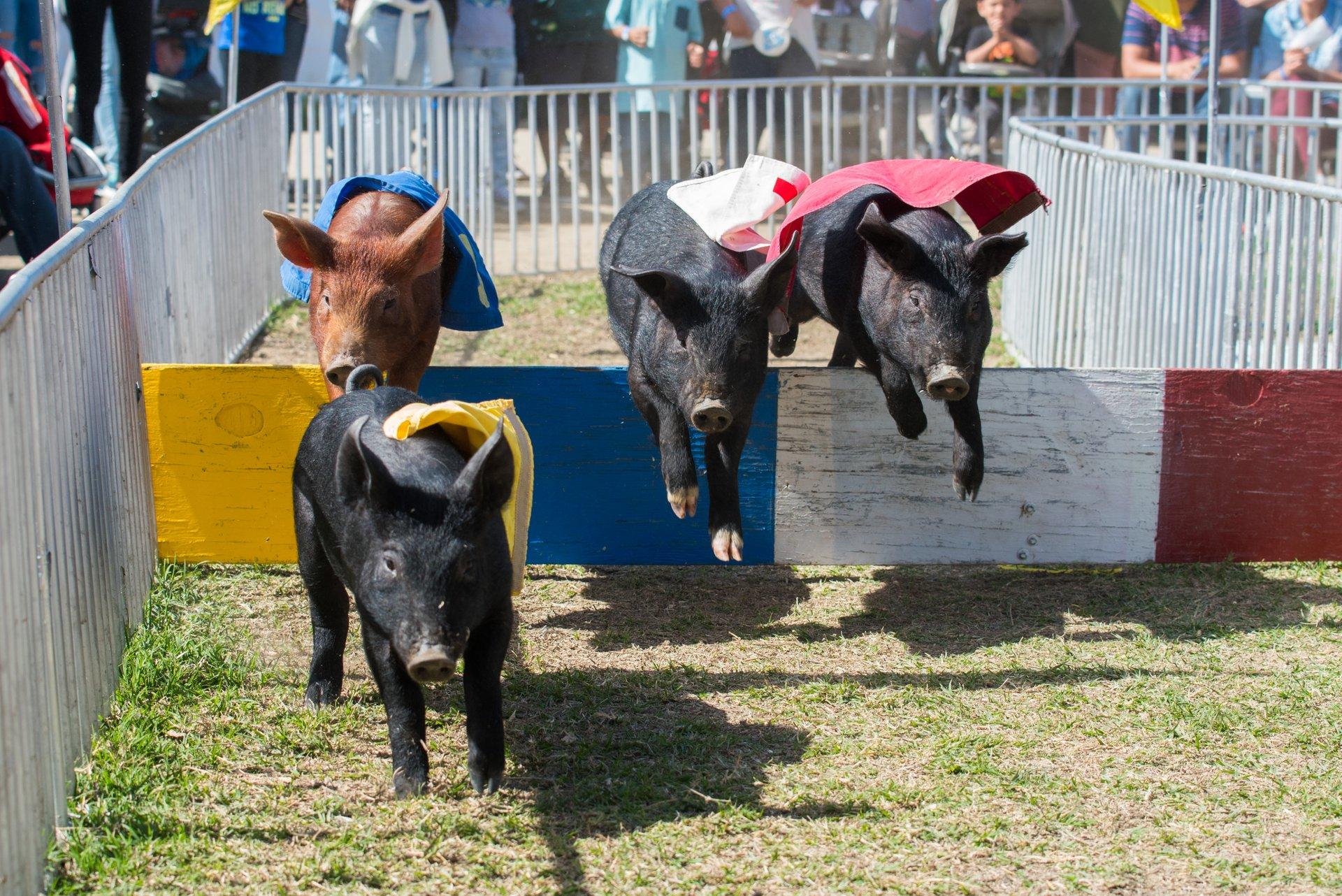 Pig Races 2020